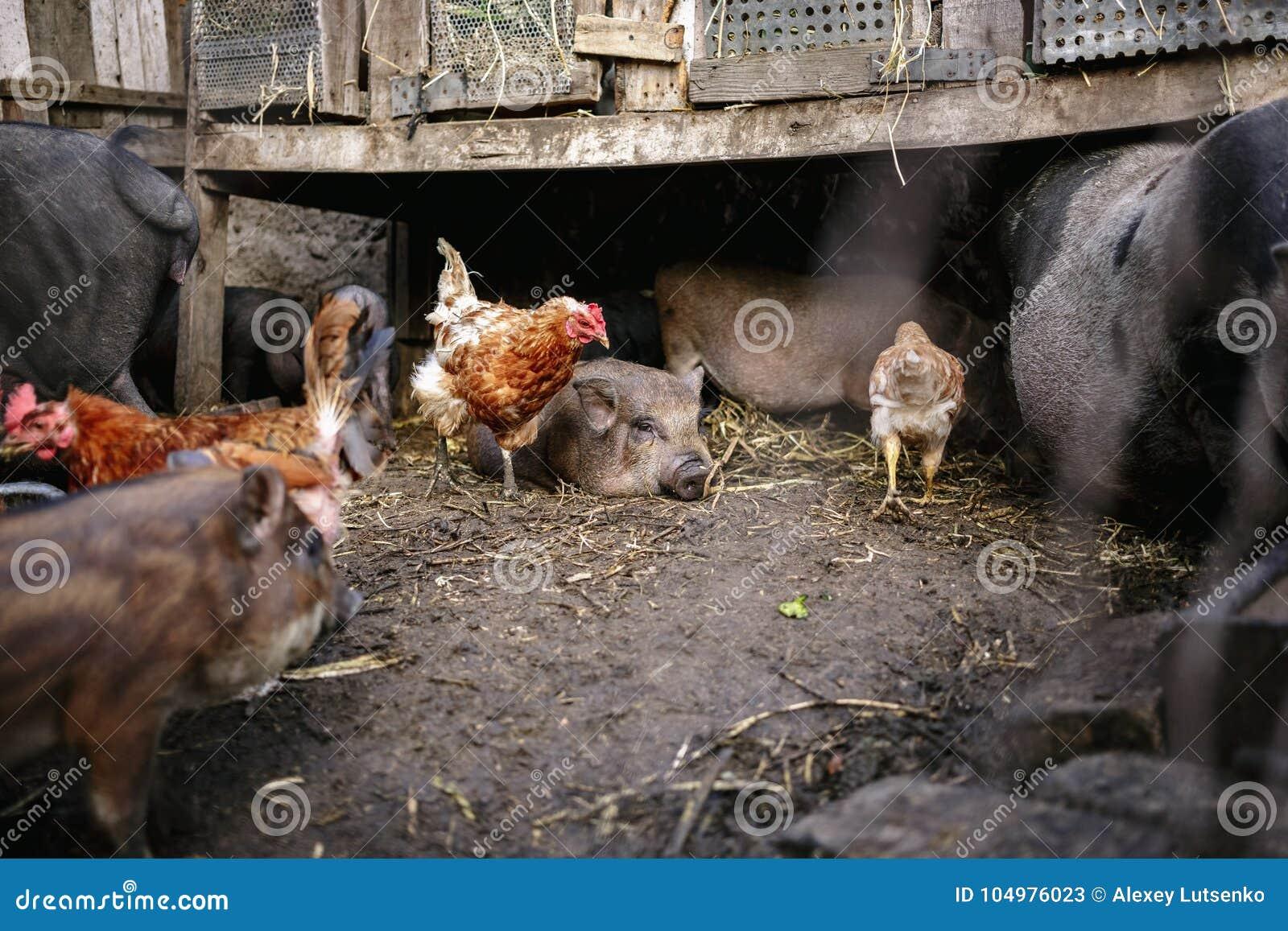 Żywieniowe wietnamczyk świnie, kurczaki na gospodarstwie rolnym i