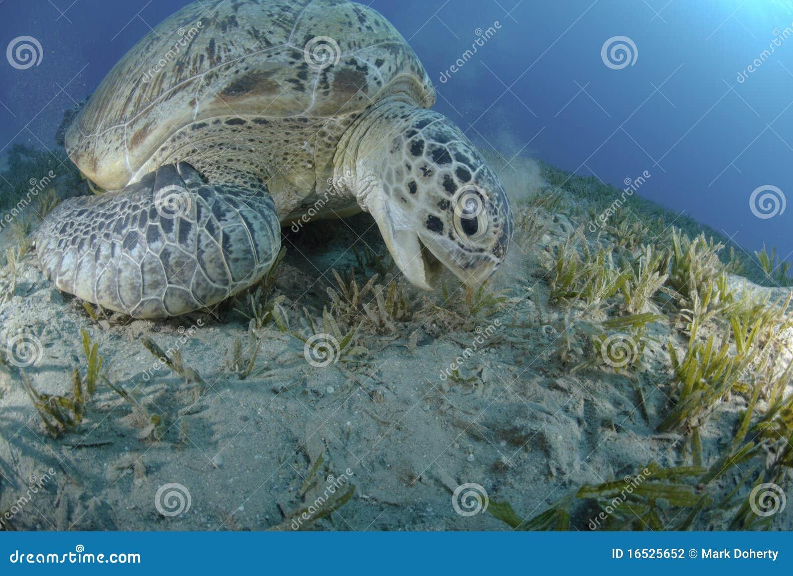 żywieniowy zielonego morza seagrass żółw