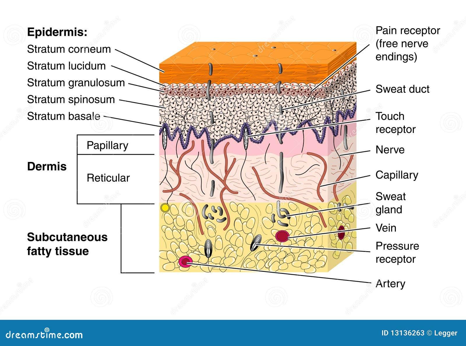 交叉要素结束分层堆积显示皮肤结构上的种类的神经