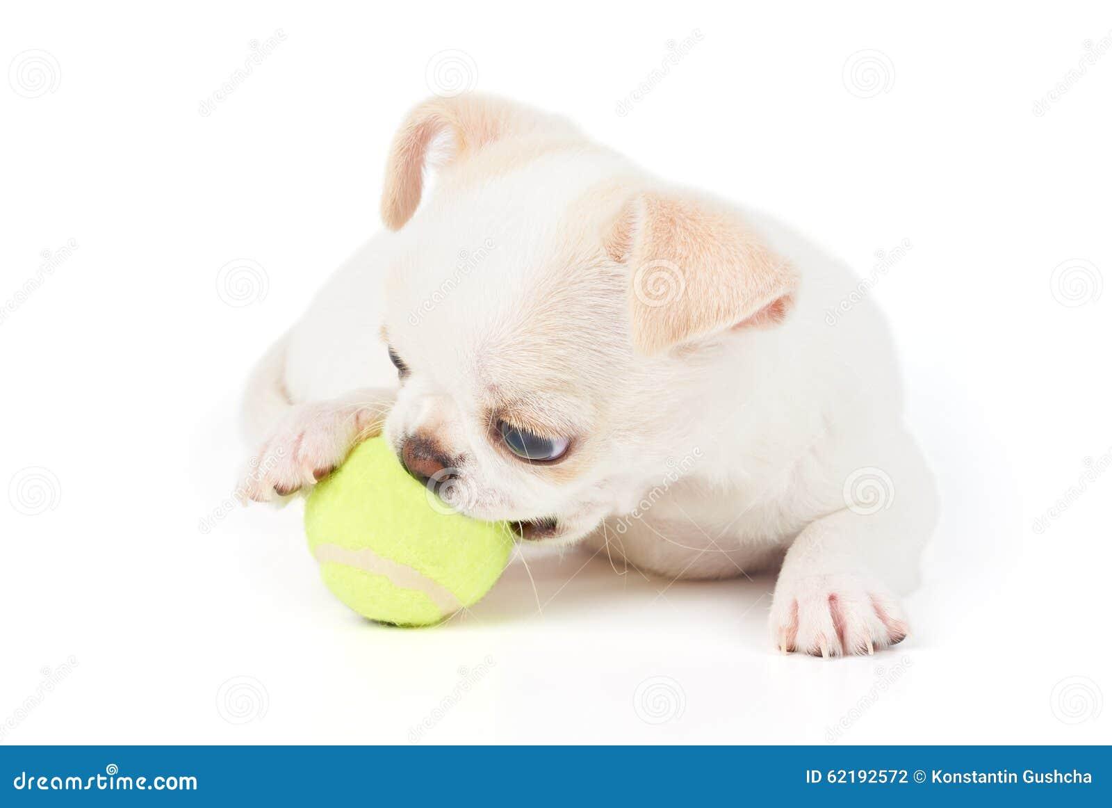 奇瓦瓦狗戏剧小狗与球的图片