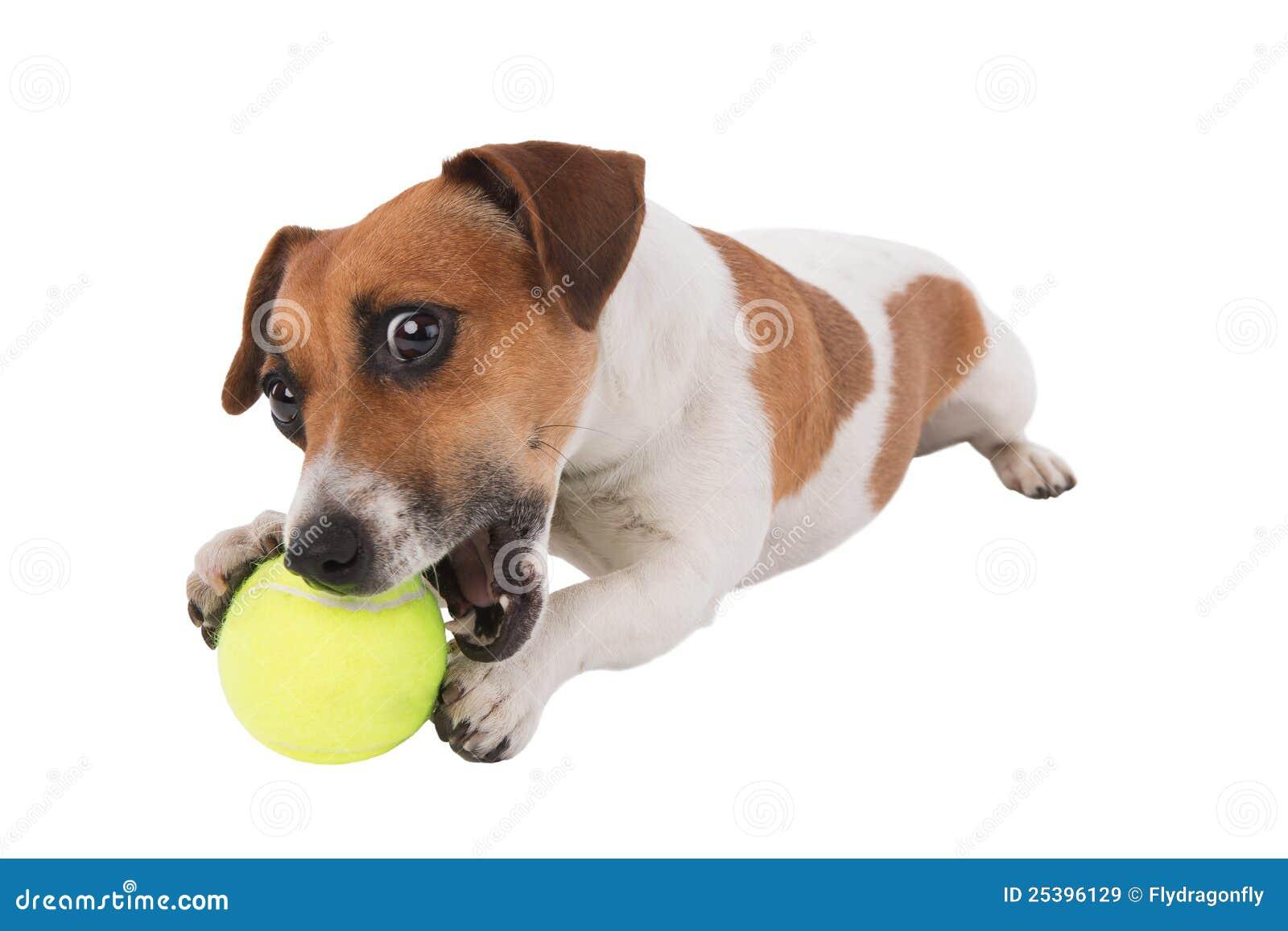 球小狗网球 免版税库存图片图片