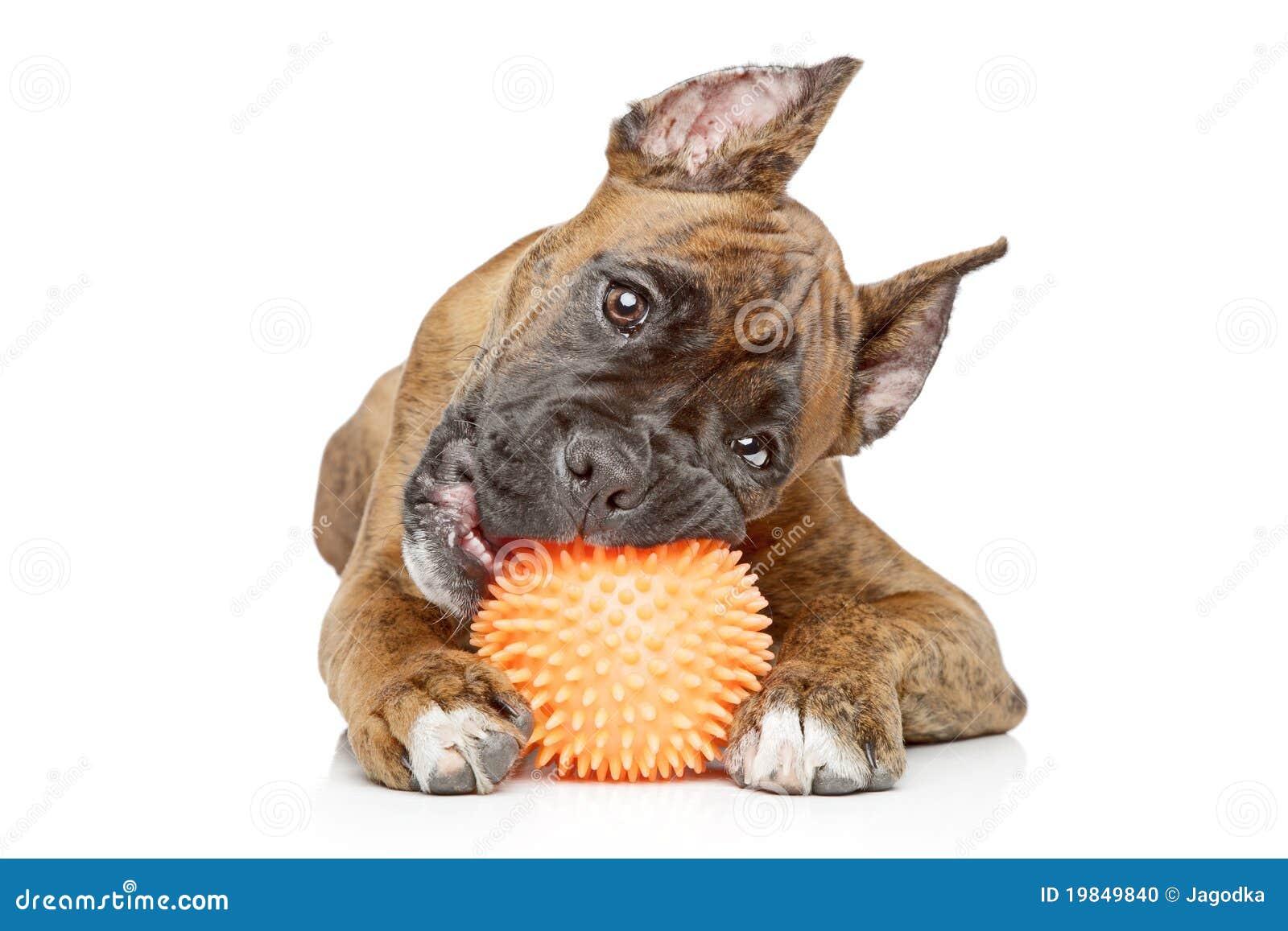 球咬住拳击手德国小狗图片