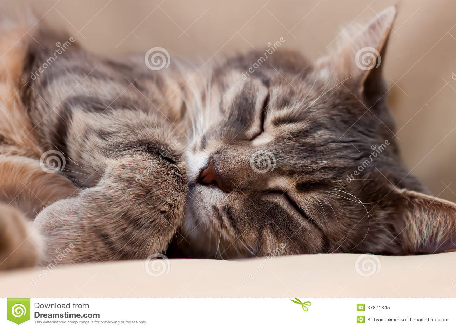 逗人喜爱睡觉灰色家猫特写镜头画象