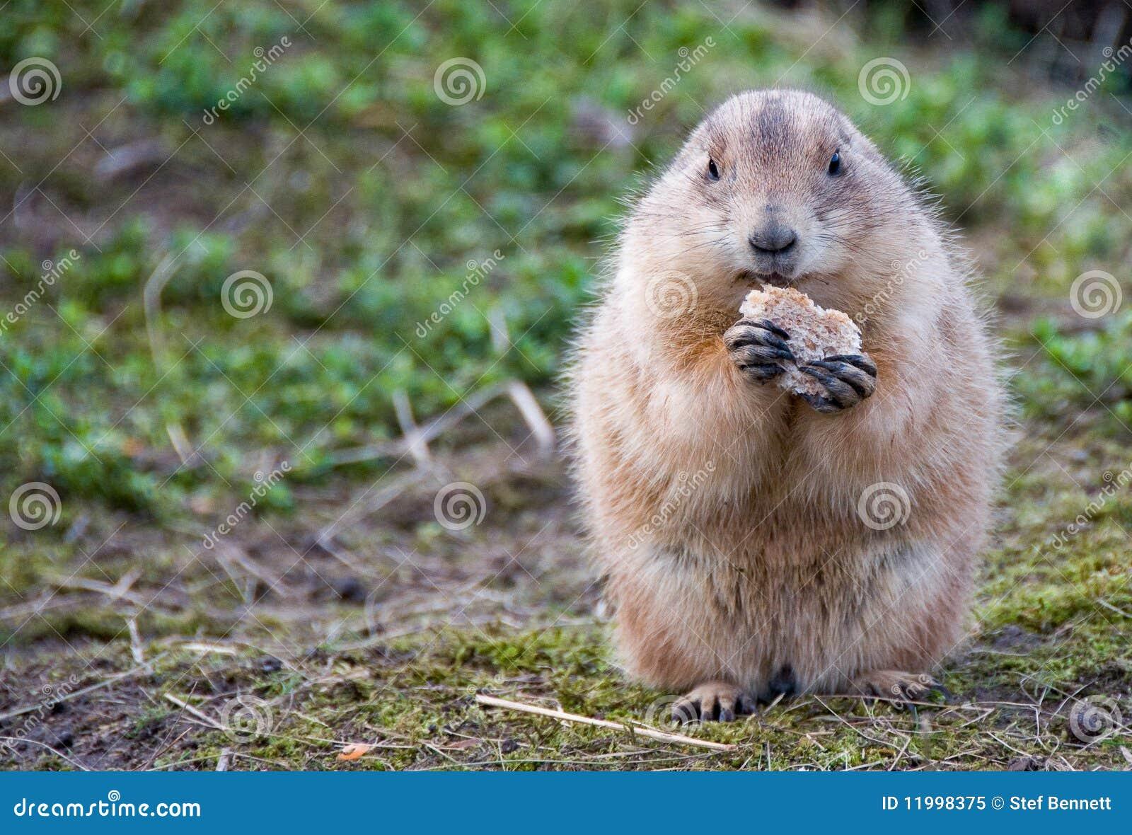 土拨鼠大叫动画动图_土拨鼠大叫表情动图表情的表情包胚图片