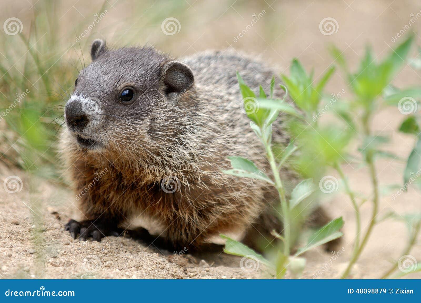土拨鼠大叫表情动图_土拨鼠大叫大全动图搞笑图片图动物表情图片搜索动图片