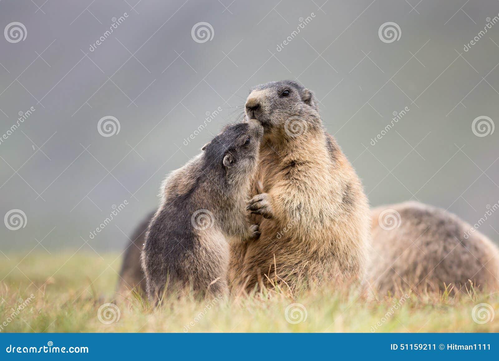 土拨鼠大叫表情动图_土拨鼠大叫美女动图早上好表情v表情表情动画图片