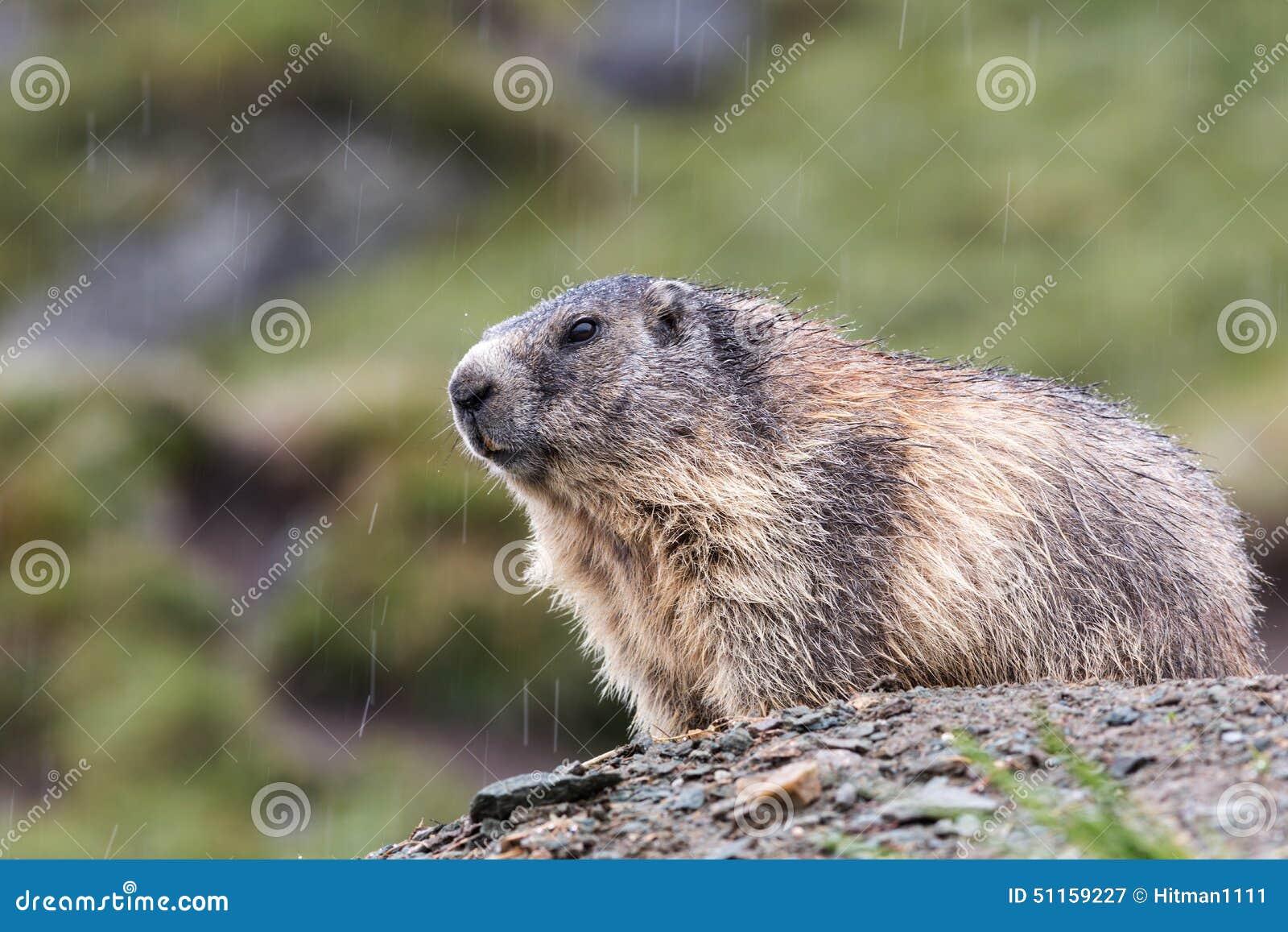 土拨鼠大叫阳光动图_土拨鼠大叫状态动图表情无表情表情包猛烈图片