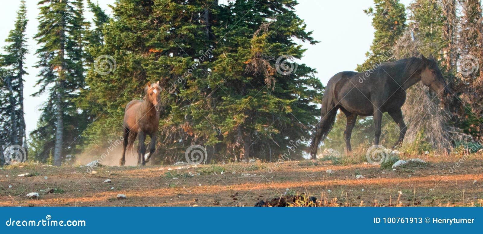 Άγρια άλογα †«Sooty Palomino και μαύροι επιβήτορες που τρέχουν στα βουνά Pryor την άγρια σειρά αλόγων στη Μοντάνα ΗΠΑ