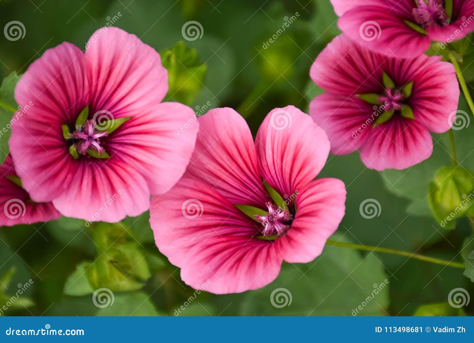 Άγρια λουλούδια σε ένα καλοκαίρι ημέρα malva