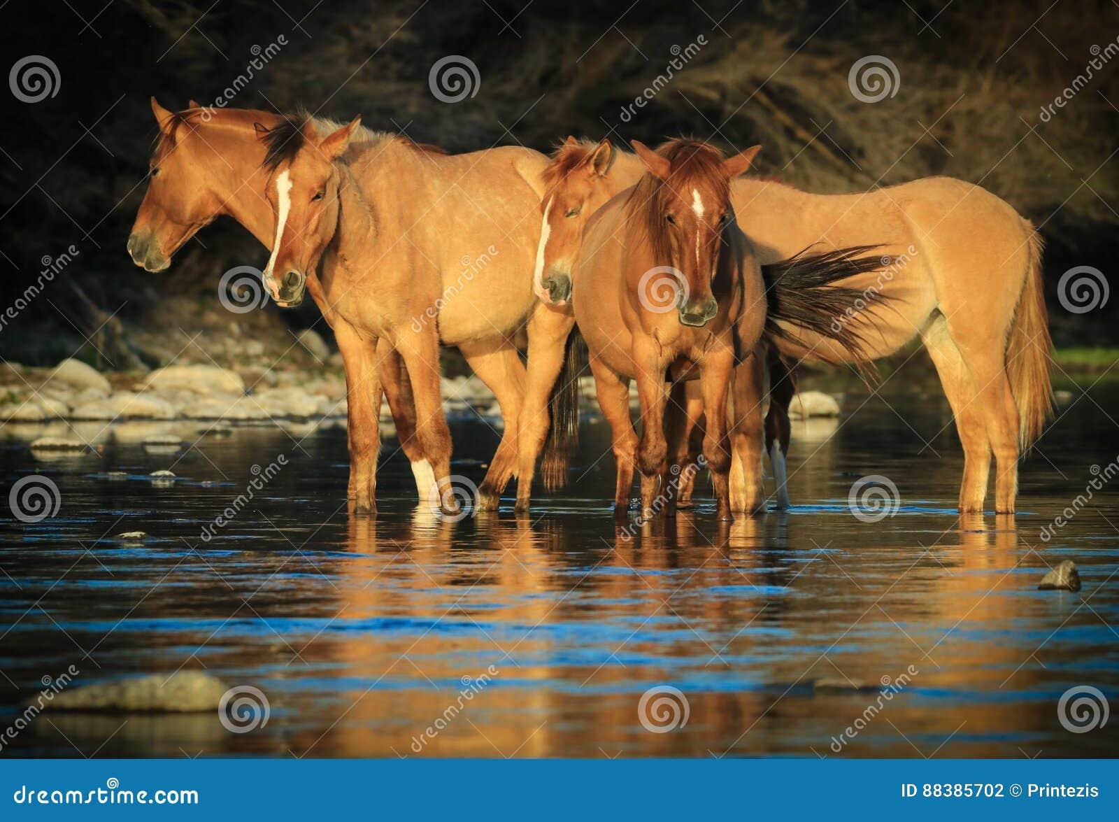 Άγρια μάστανγκ αλόγων στον αλατισμένο ποταμό, Αριζόνα