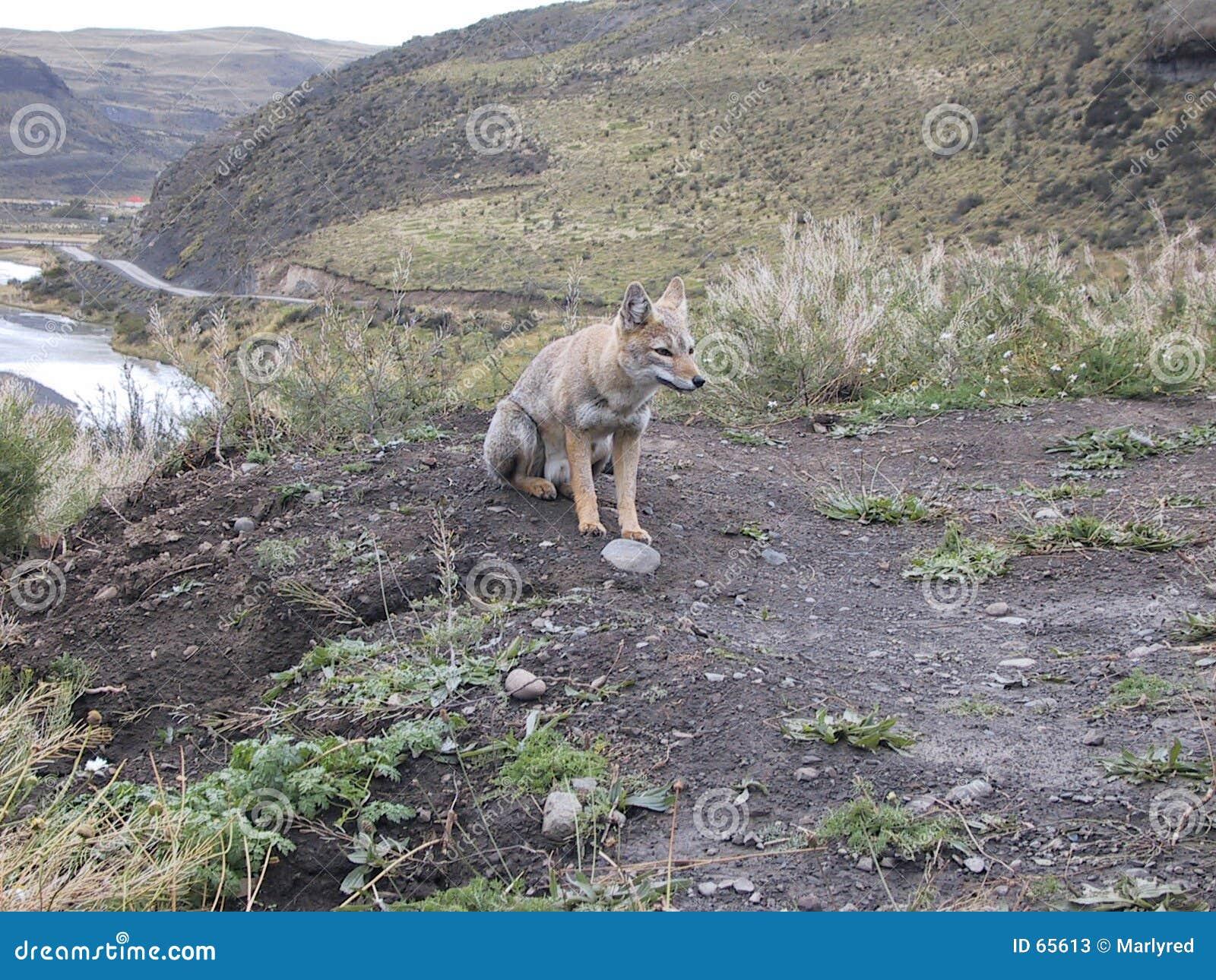 άγρια περιοχές αλεπούδων