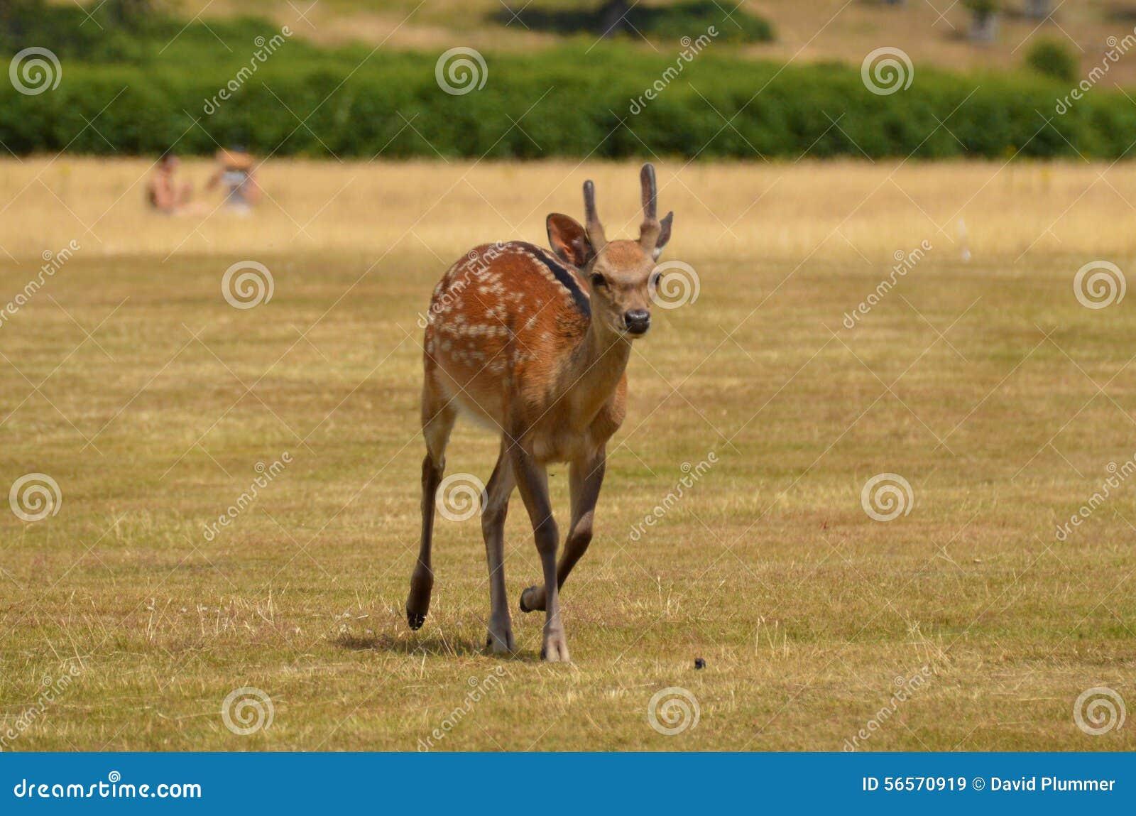 Download άγρια περιοχές ελαφιών στοκ εικόνα. εικόνα από άγριος - 56570919