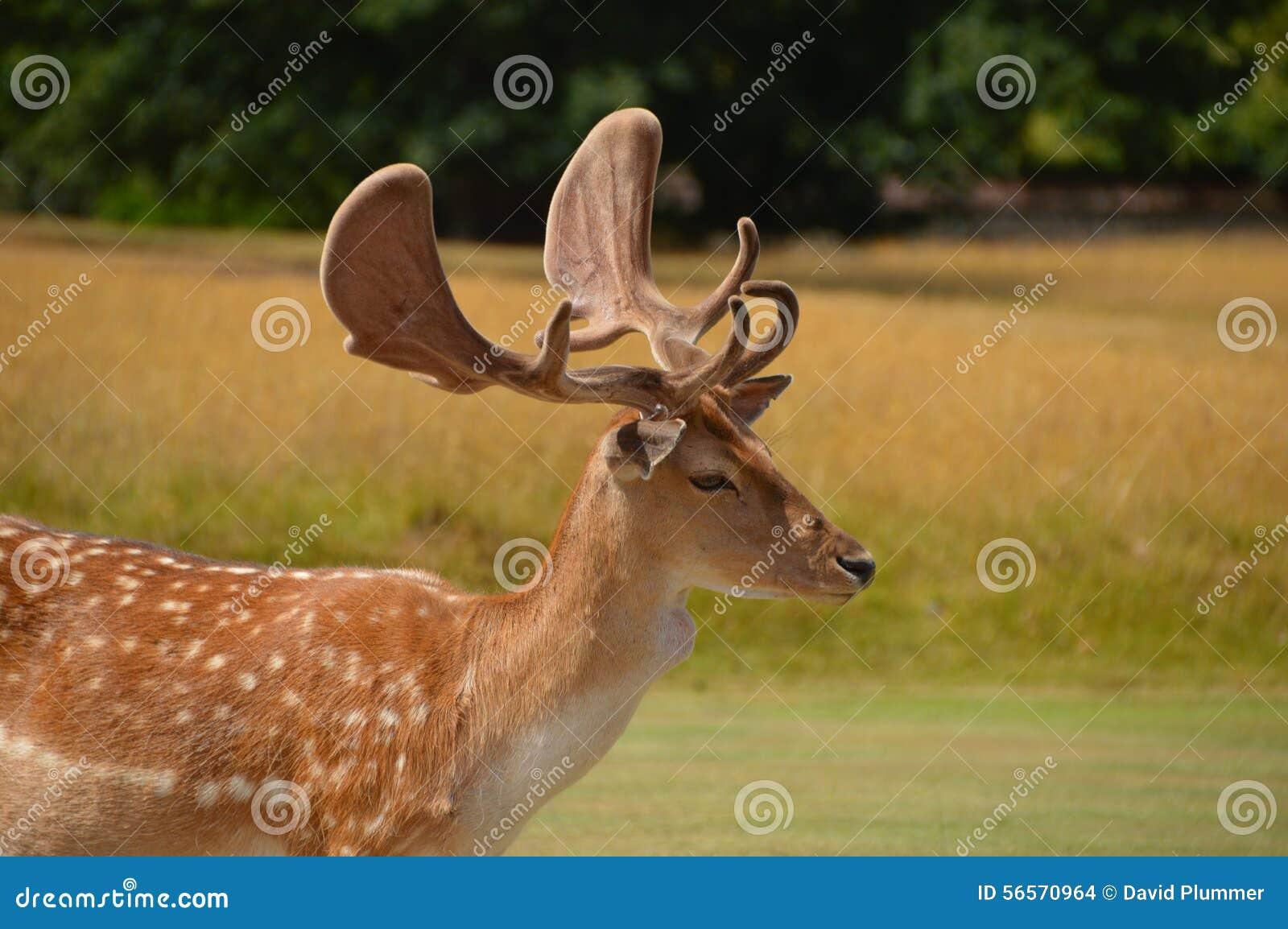 Download άγρια περιοχές ελαφιών στοκ εικόνες. εικόνα από άγριος - 56570964