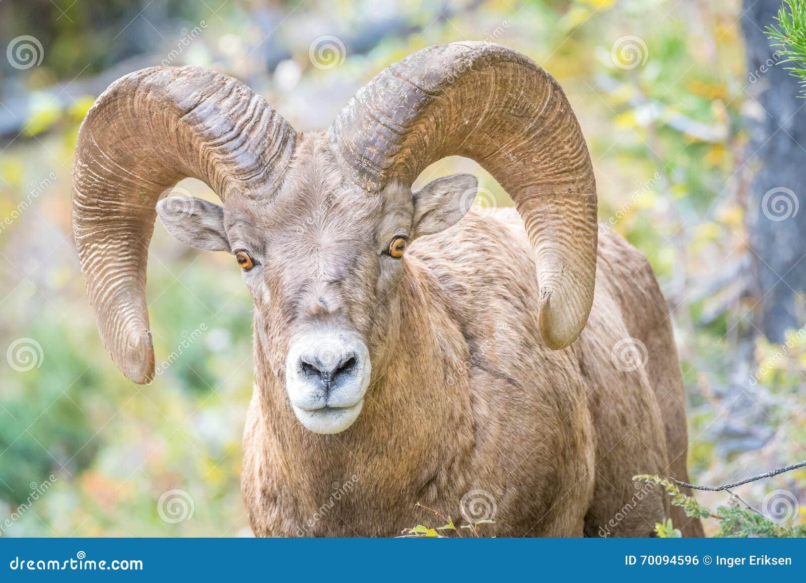 Άγρια πρόβατα Bighorn που εξετάζουν τη κάμερα