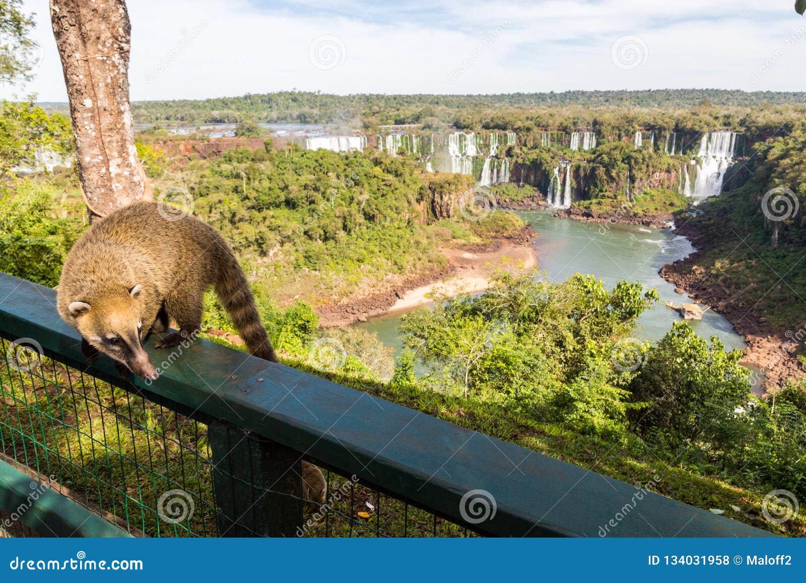 Άγρια τοποθέτηση nasua coati στη βραζιλιάνα πλευρά του εθνικού πάρκου πτώσεων Iguazu Αργεντινή πλευρά των πτώσεων Iguazu στο υπόβ