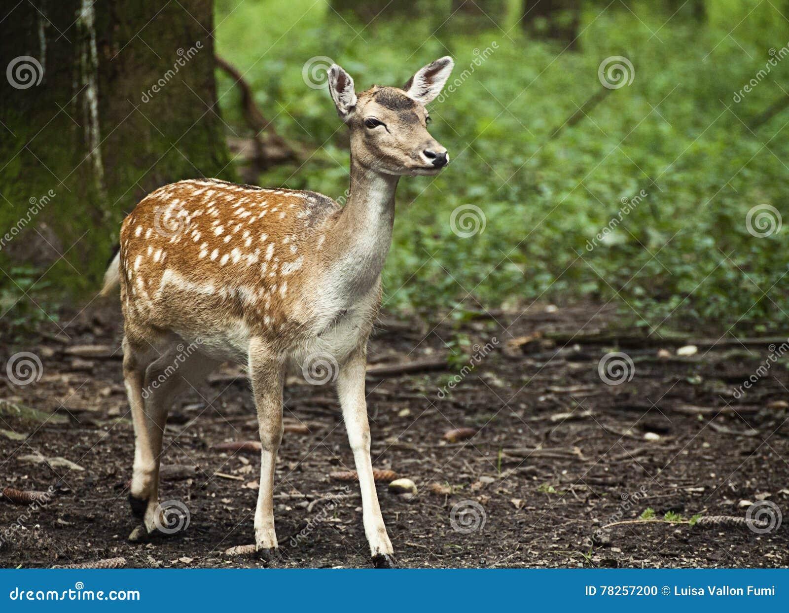 Άγρια φύση, κόκκινο fawn που στέκεται στη δασώδη περιοχή