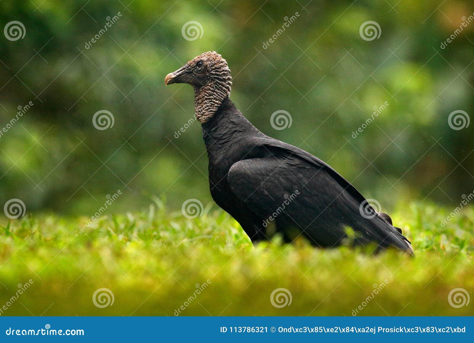 Σκληρό μαύρο πουλί εικόνες