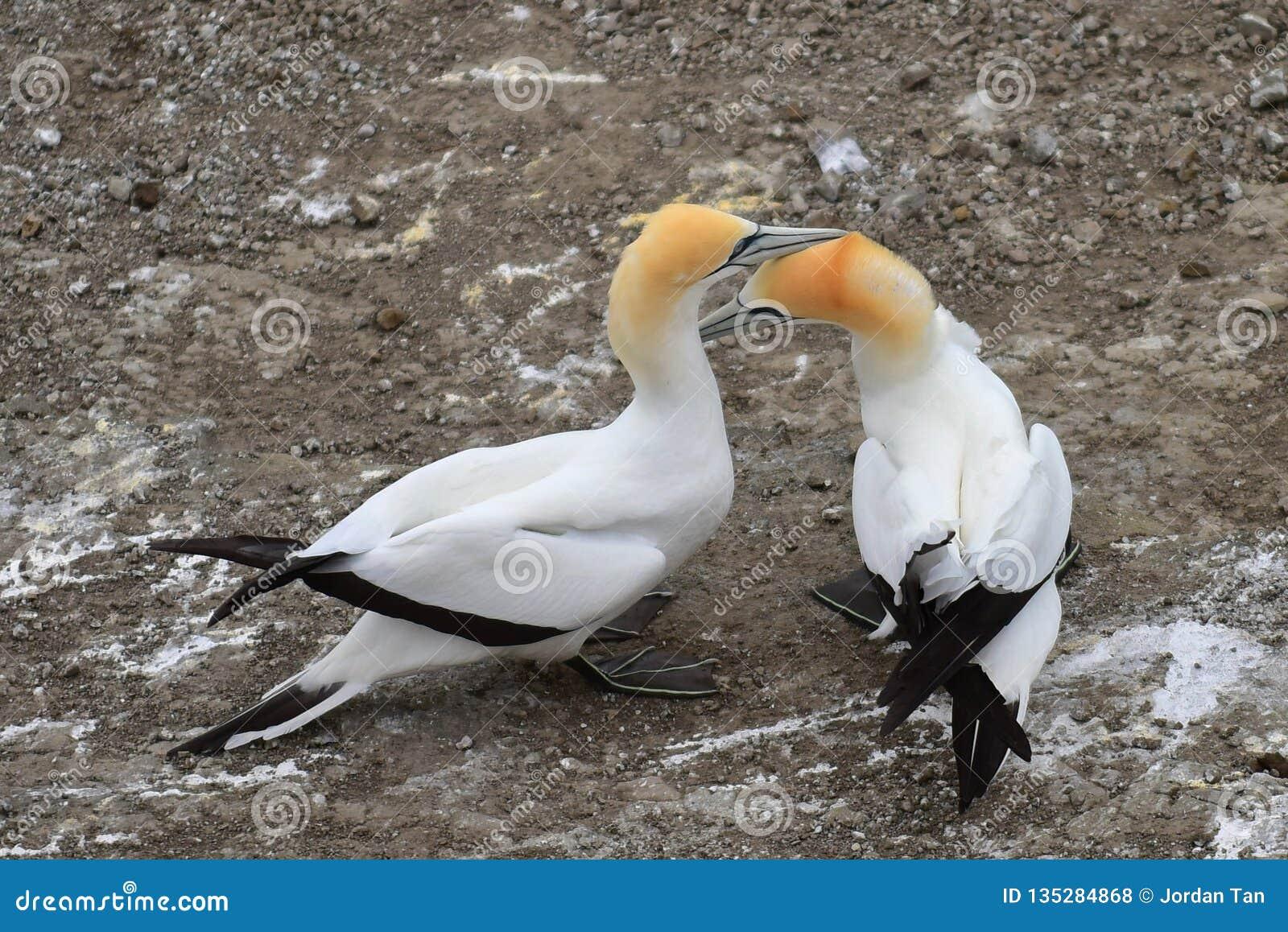 Άγρια gannets στην ερωτοτροπία σε Muriwai, δυτική ακτή της Νέας Ζηλανδίας