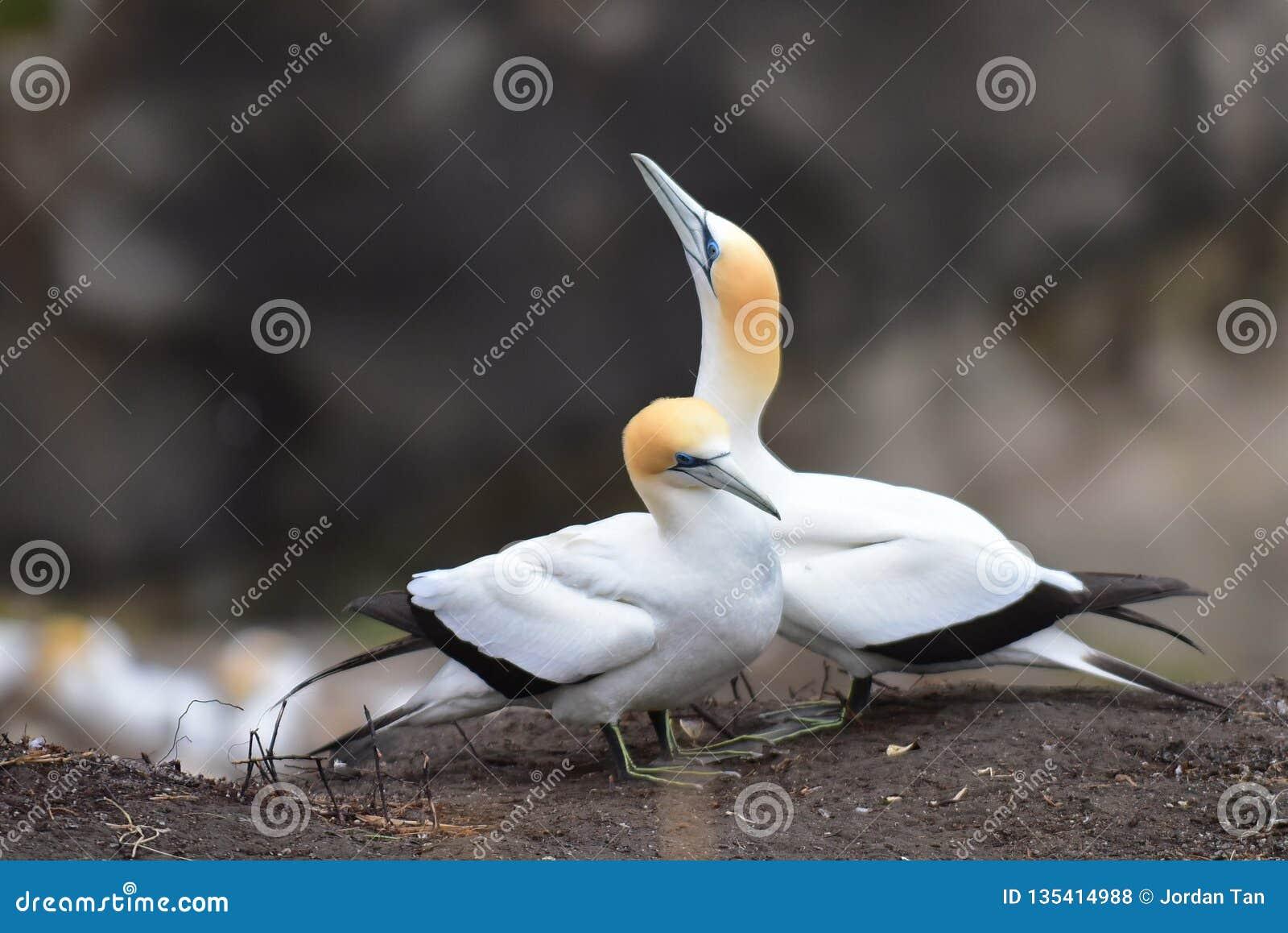 Άγρια gannets στην ερωτοτροπία σε Muriwai, Νέα Ζηλανδία