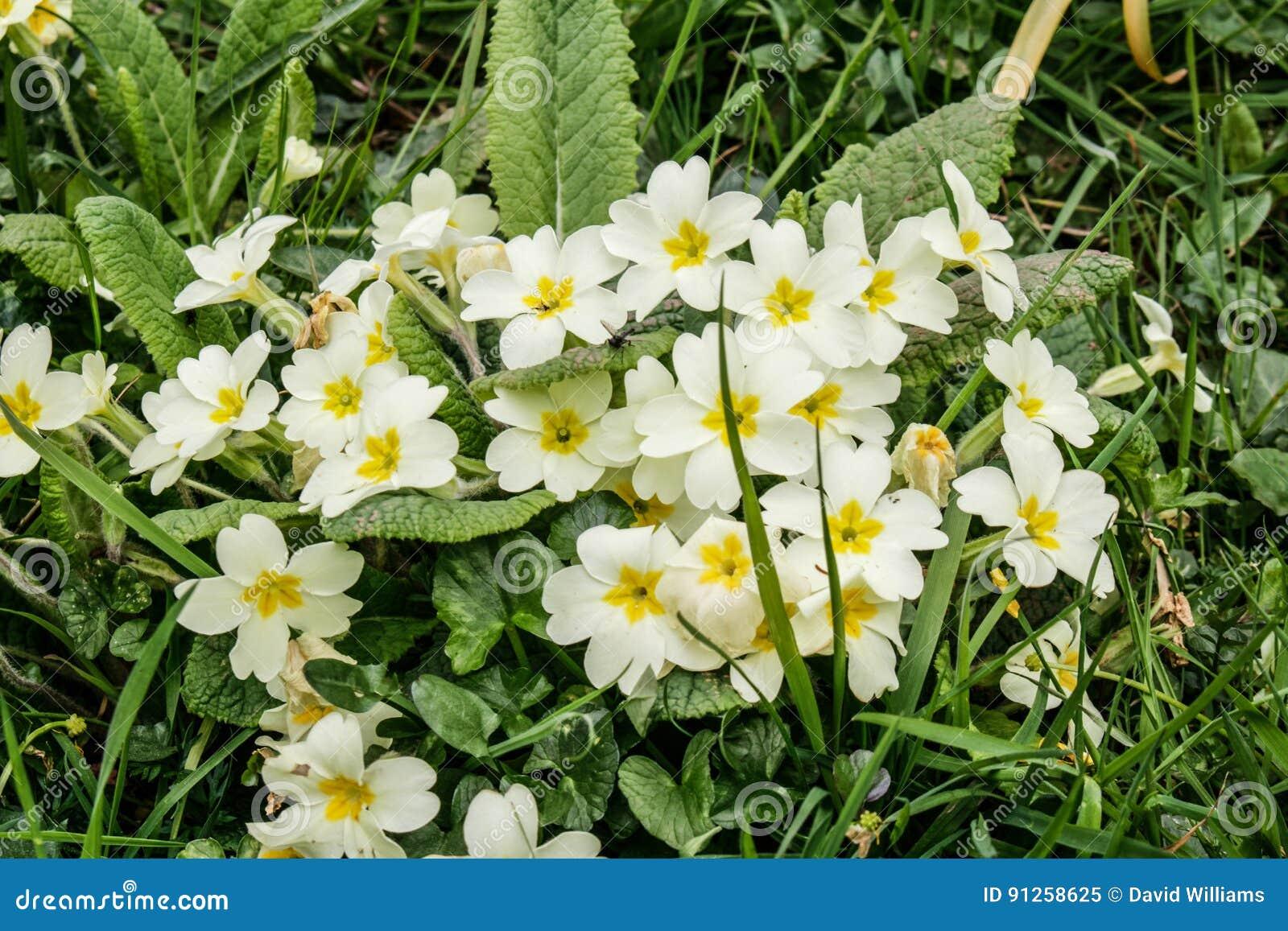 Άγρια primroses στο λουλούδι