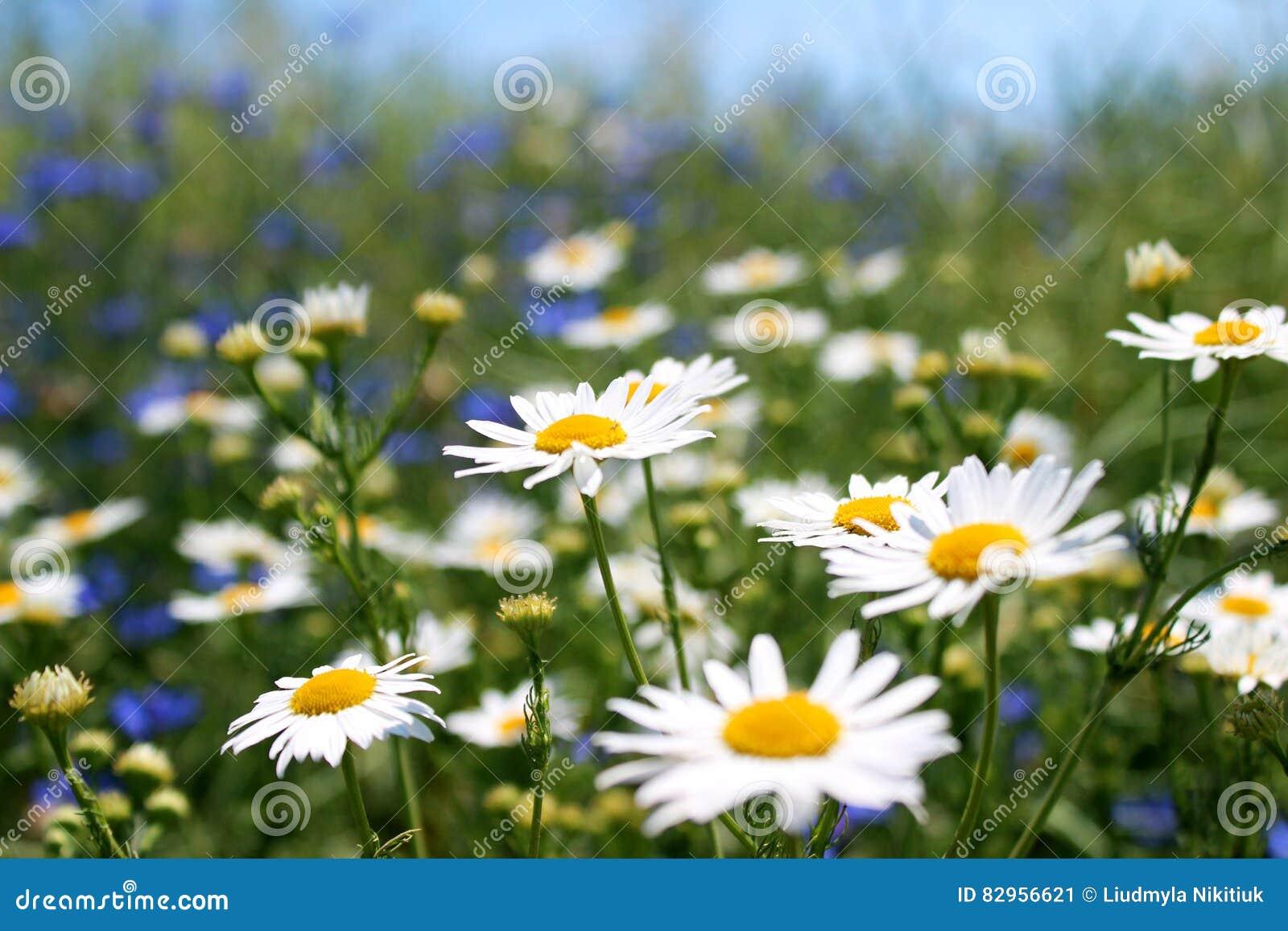 Άγριες μαργαρίτες, πολλά θολωμένα λουλούδια στον τομέα, camomile