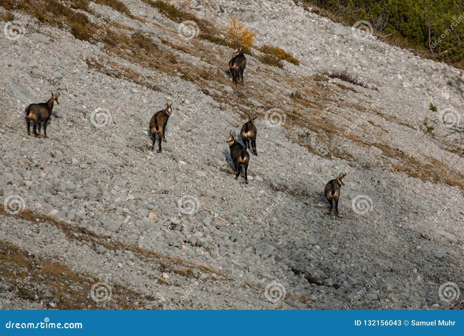 Άγριοι αίγαγροι/αίγες βουνών στην Αυστρία