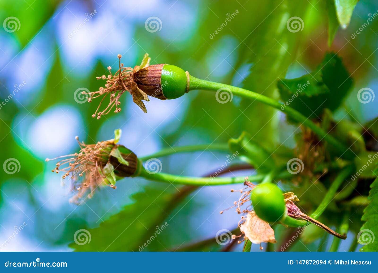 Άγριος στενός επάνω avium Prunus κερασιών πράσινων, νέων φρούτων διαμόρφωσης, με τα καφετιά, ξηρά λουλούδια συνημμένα ακόμα