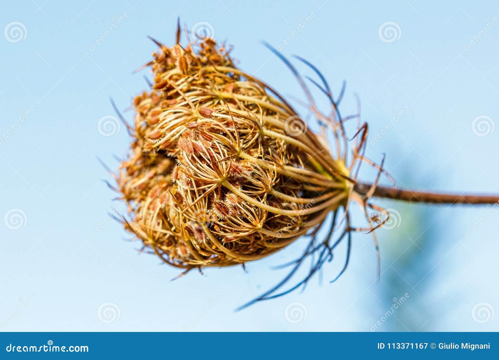 Άγριο λουλούδι καρότων carota Daucus, Valconca, Ιταλία