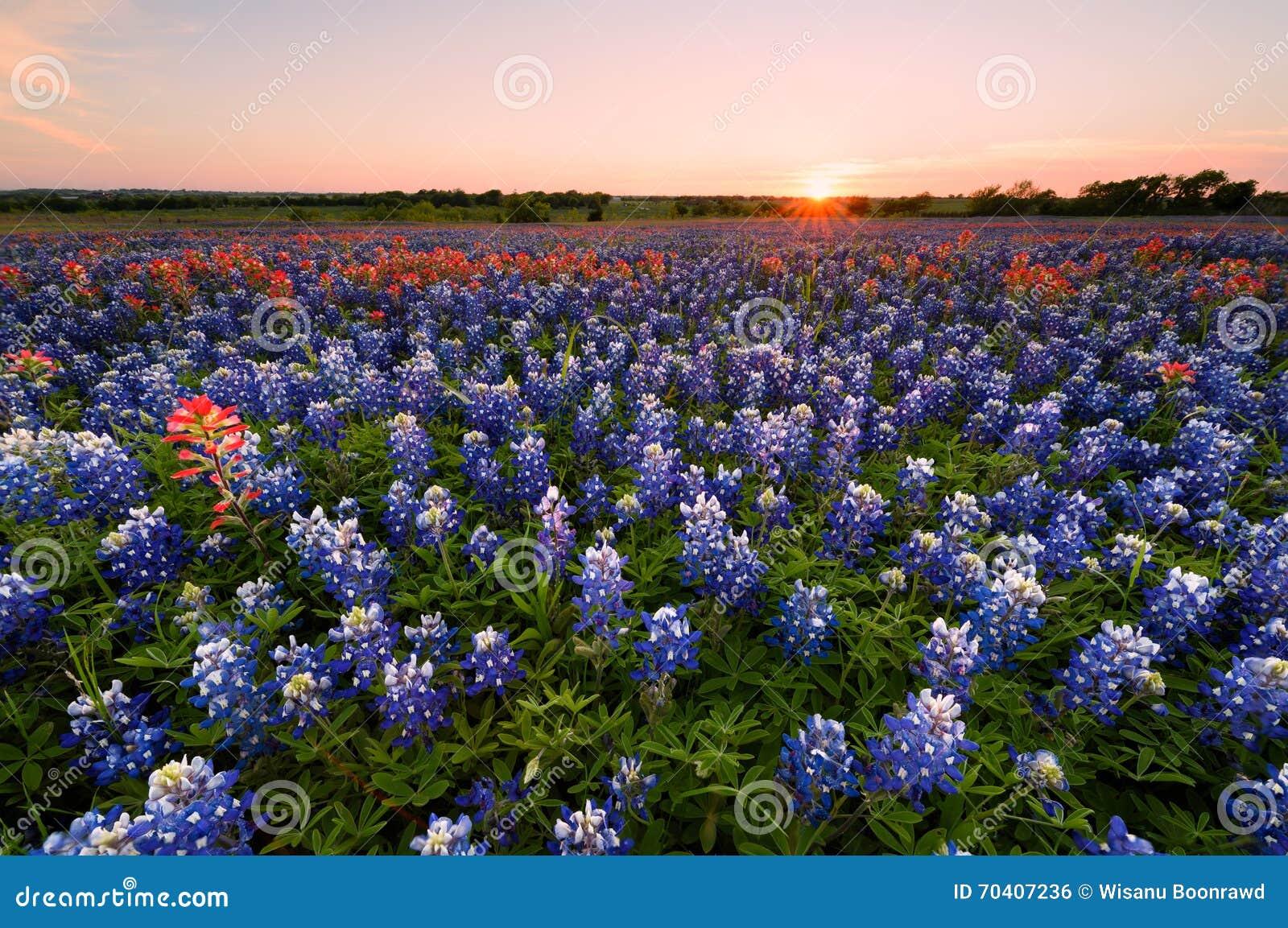Άγριο λουλούδι Bluebonnet στο Τέξας