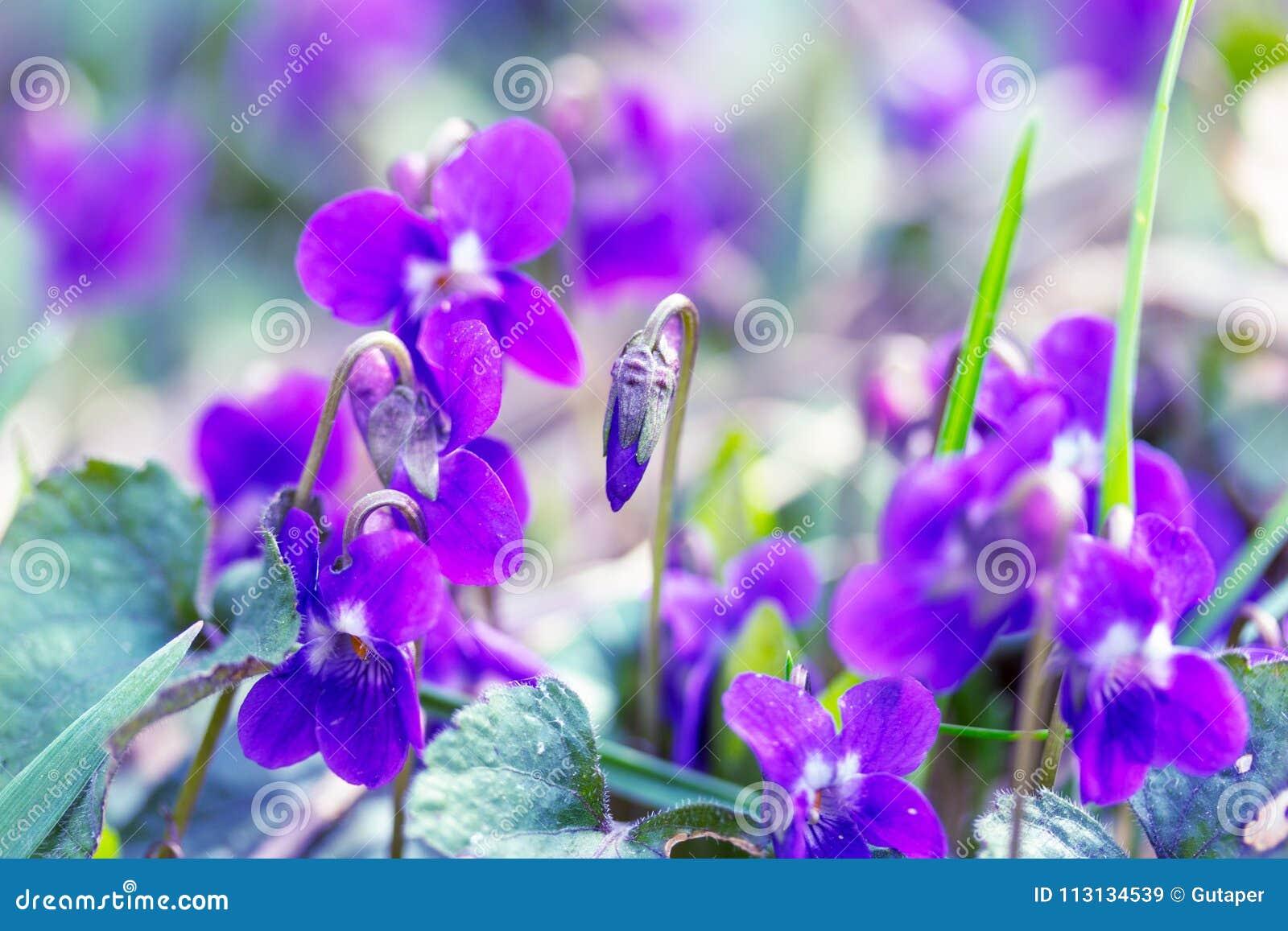 Άγριο πρωί άνοιξη βιολέτων λουλουδιών