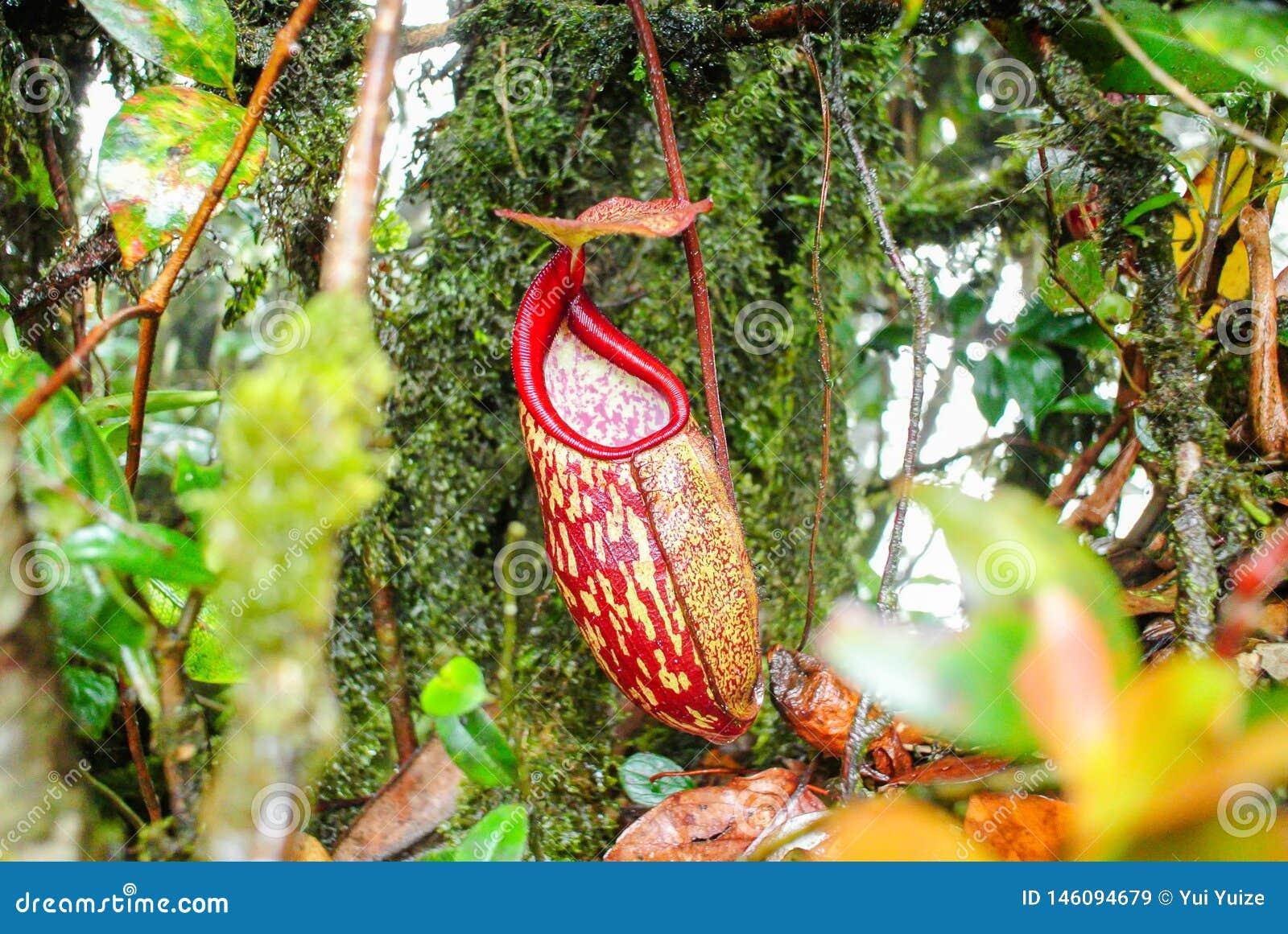 Άγριο Nepenthes, τροπικές εγκαταστάσεις σταμνών, κόκκινα φλυτζάνια πιθήκων