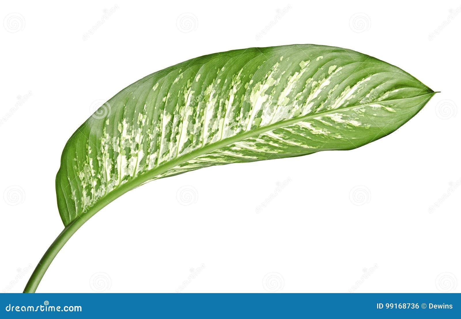 Άλαλος κάλαμος φύλλων Dieffenbachia, πράσινα φύλλα που περιέχουν τα άσπρα σημεία και κηλίδες, τροπικό φύλλωμα που απομονώνεται στ