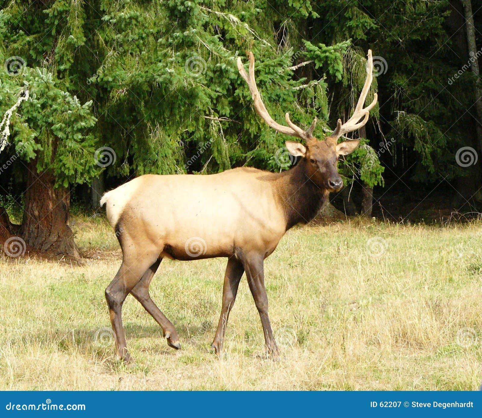 Download άλκες ταύρων στοκ εικόνα. εικόνα από άλκες, wildlife, παιχνίδι - 62207