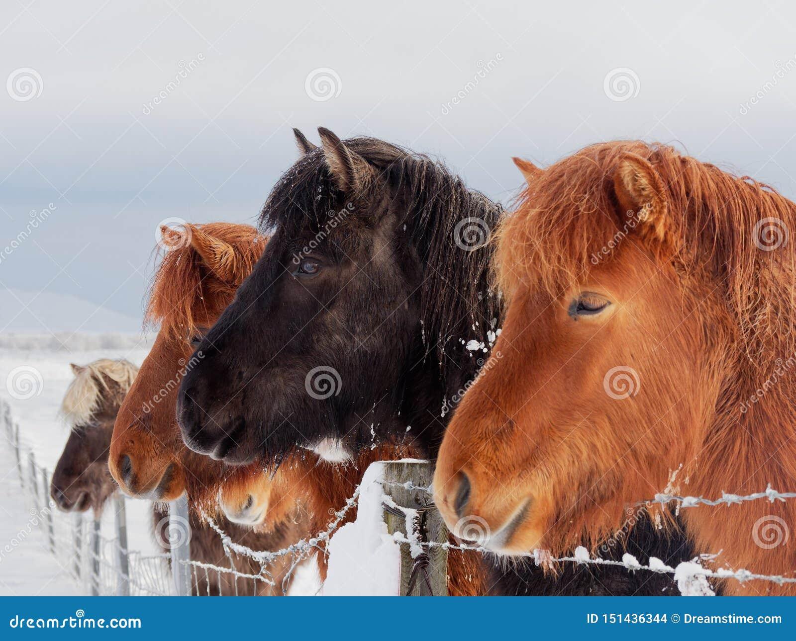 Άλογα νησιών το χειμώνα