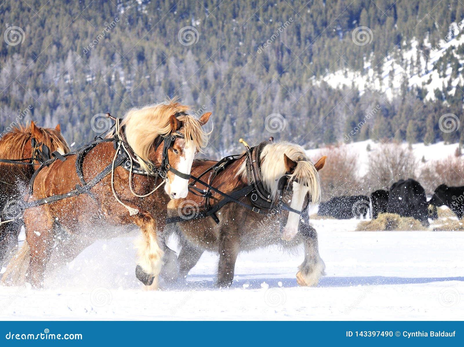 Άλογα σχεδίων που απασχολούνται σκληρά να τραβήξει στο χιόνι