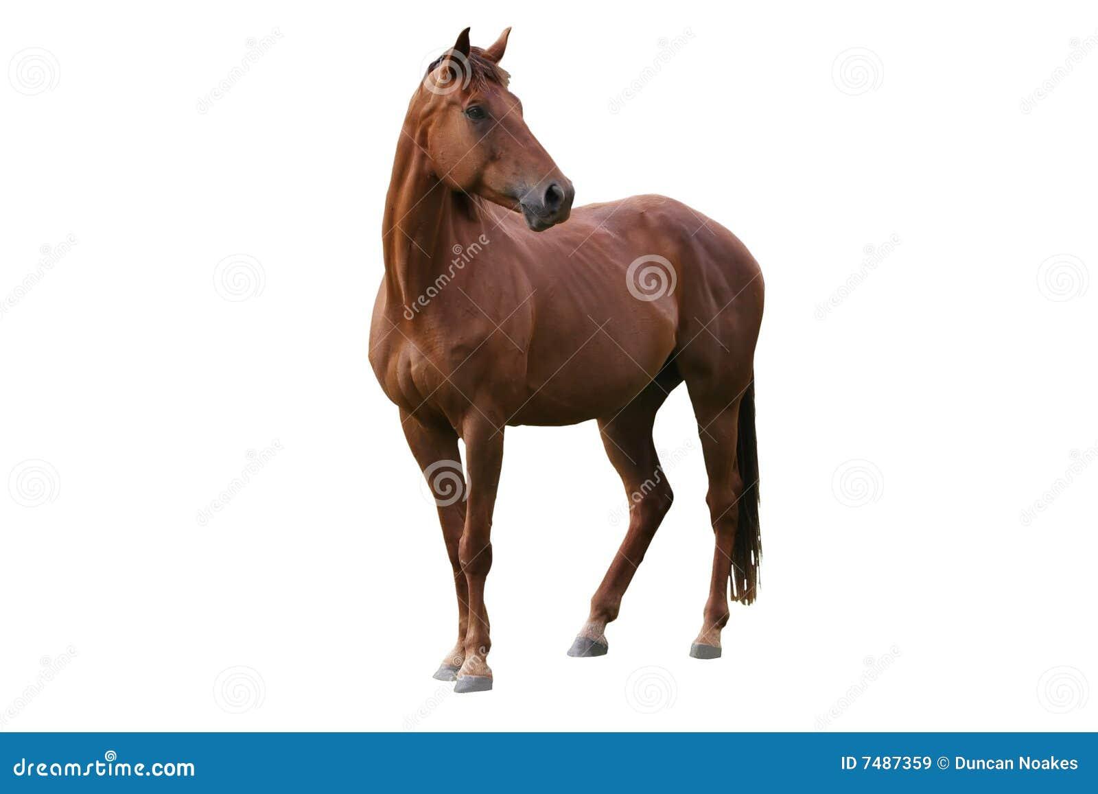 άλογο που απομονώνεται καφετί