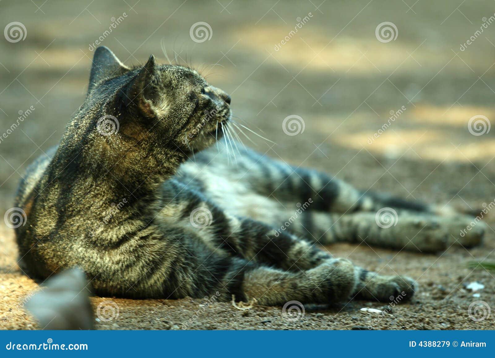 άμμος γατών