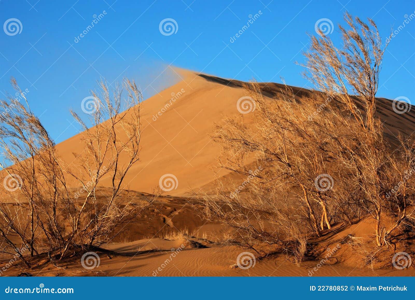 άμμος φυτών αμμόλοφων haloxylon