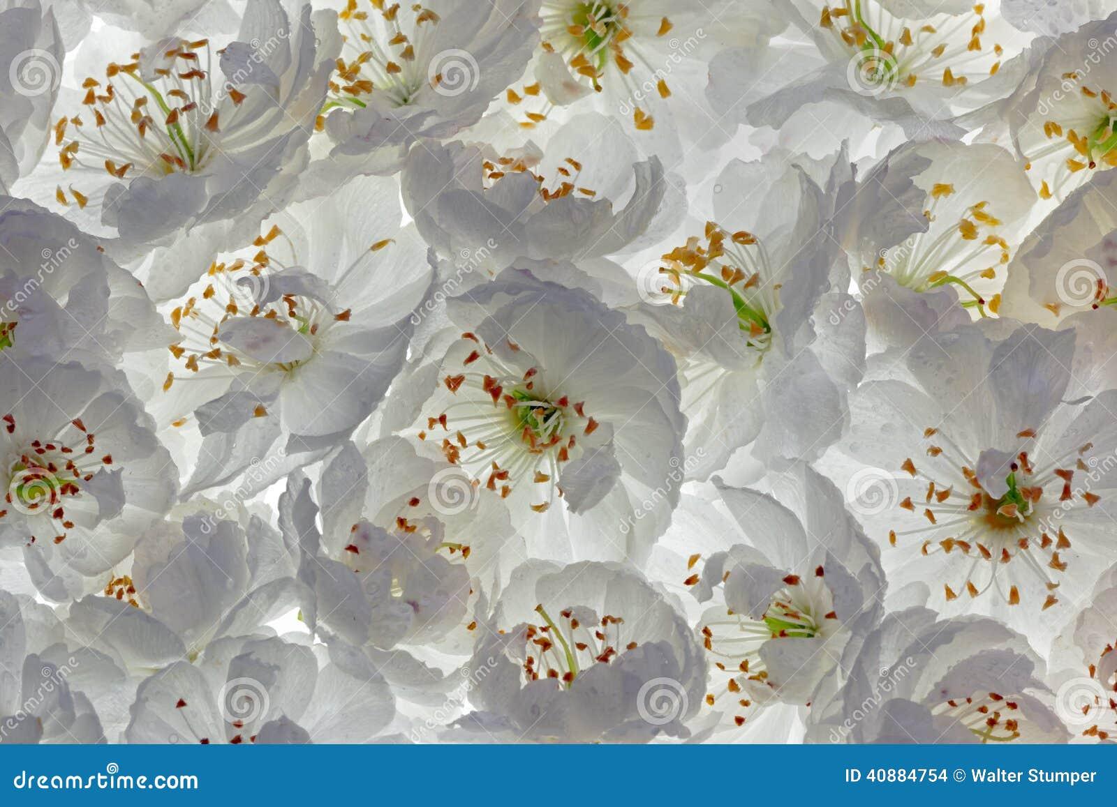 Άνθη βύσσινων