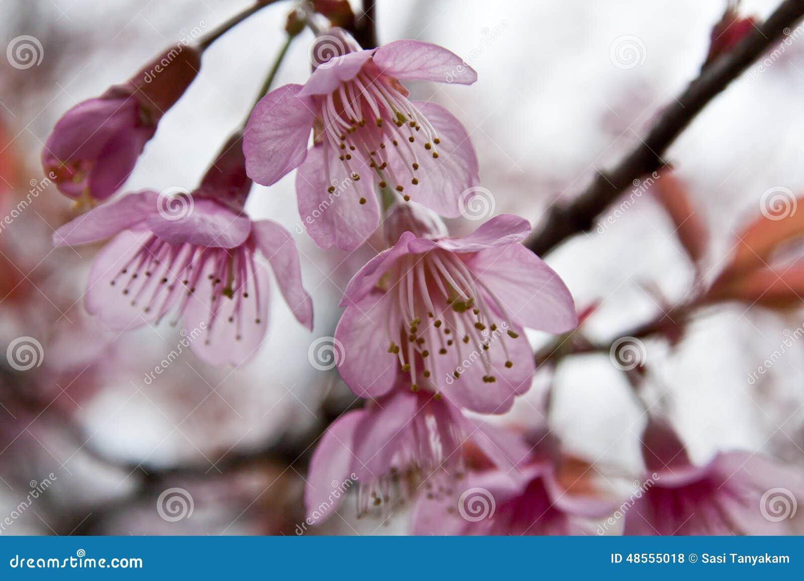 Άνθη κερασιών στη φύση