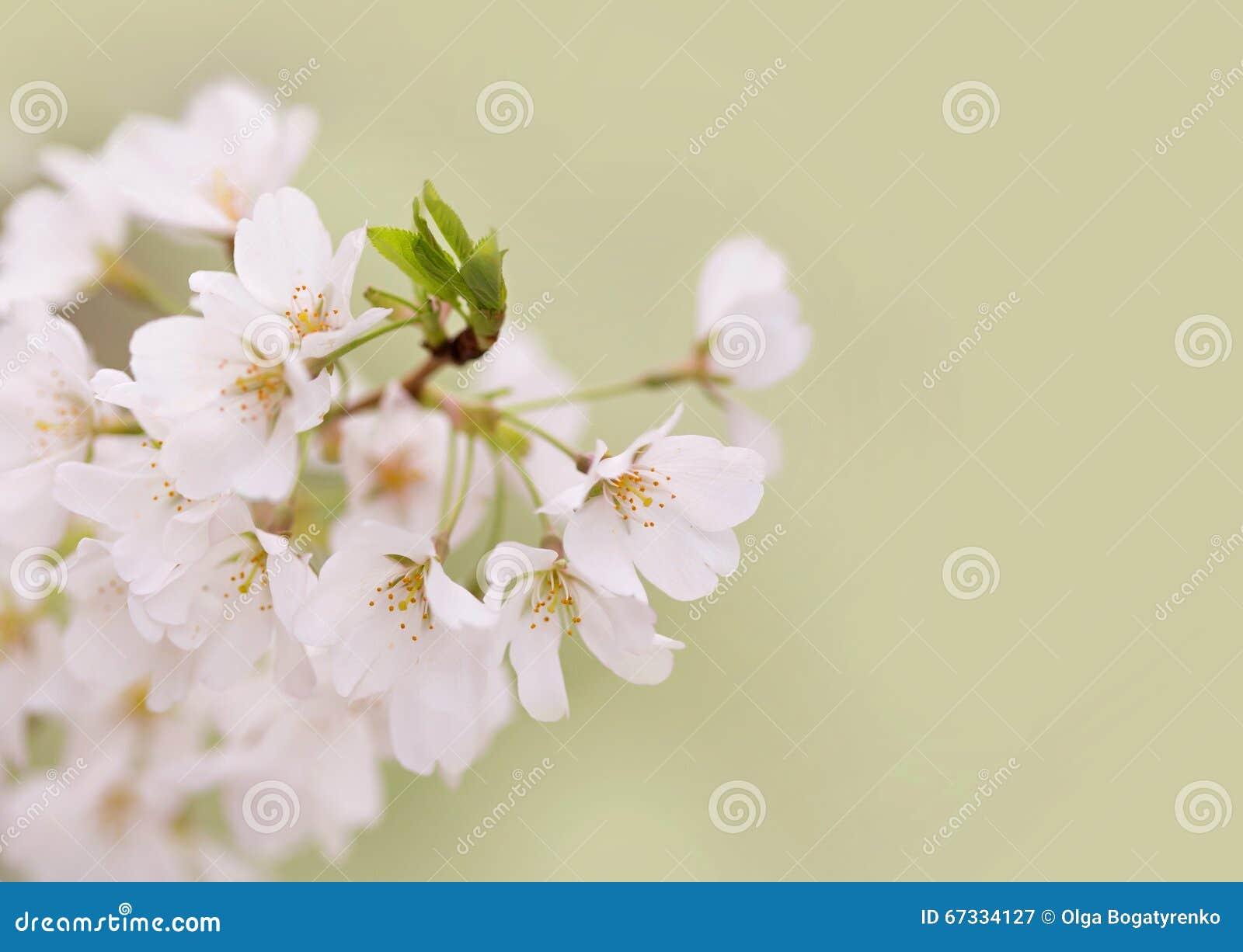 Άνθη κερασιών