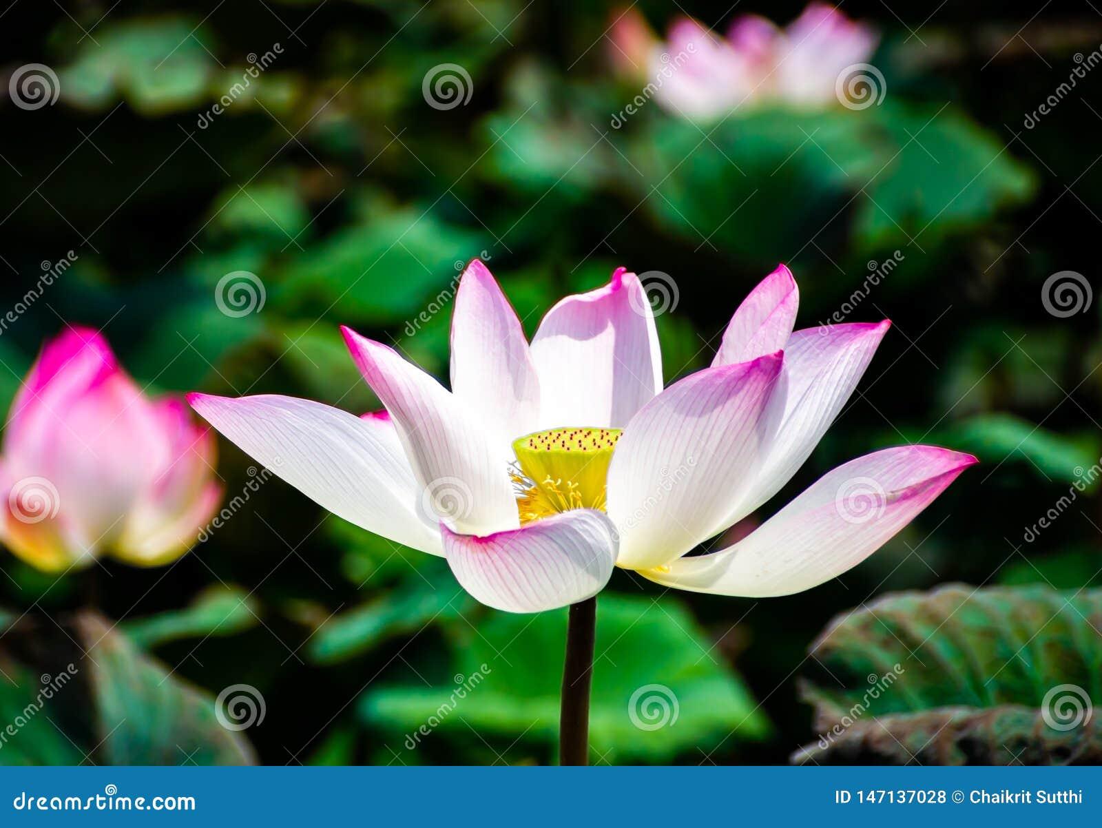 Άνθιση λουλουδιών Lotus στα έλη