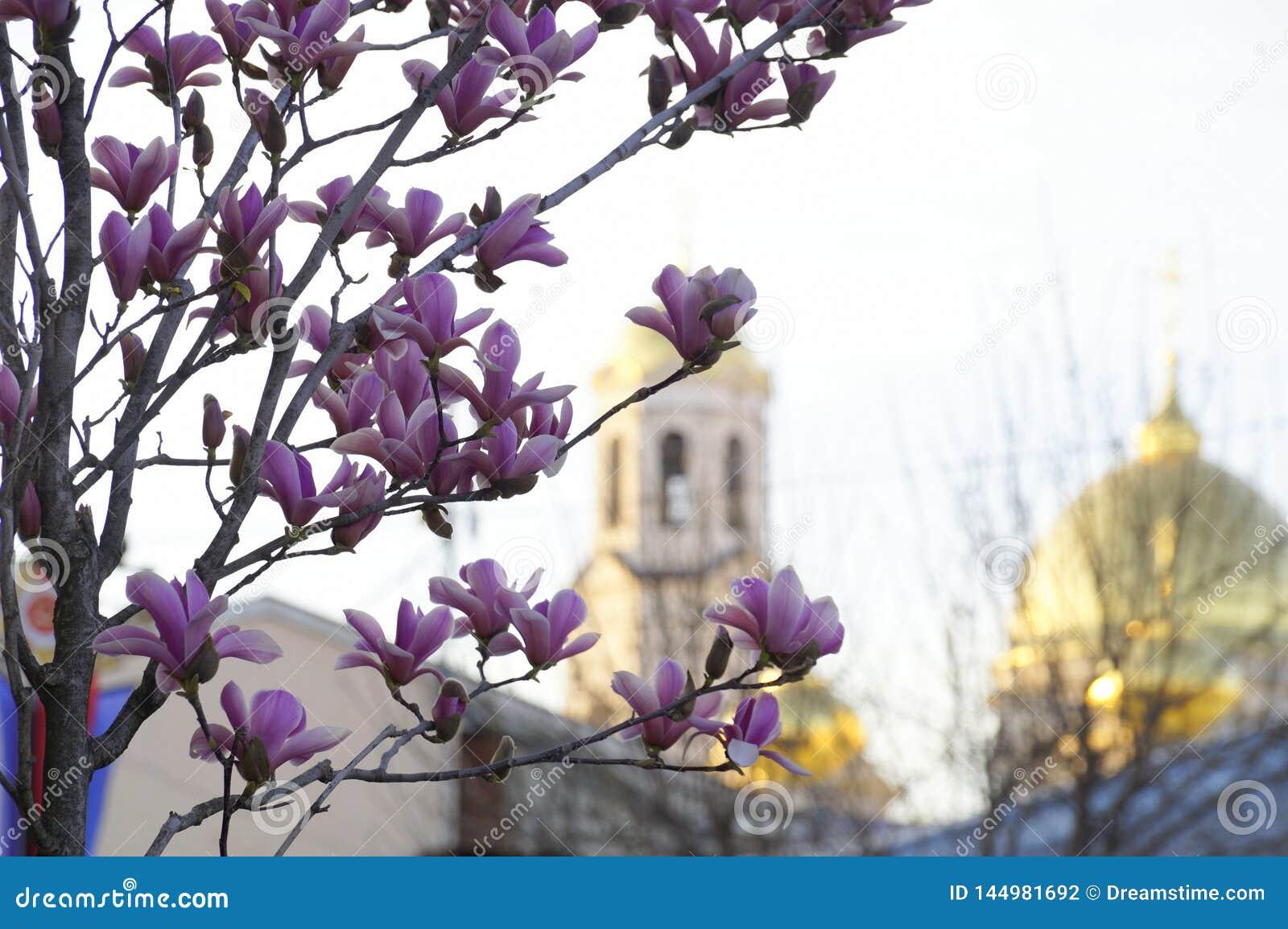 Άνθιση Magnolia στο υπόβαθρο μιας Ορθόδοξης Εκκλησίας