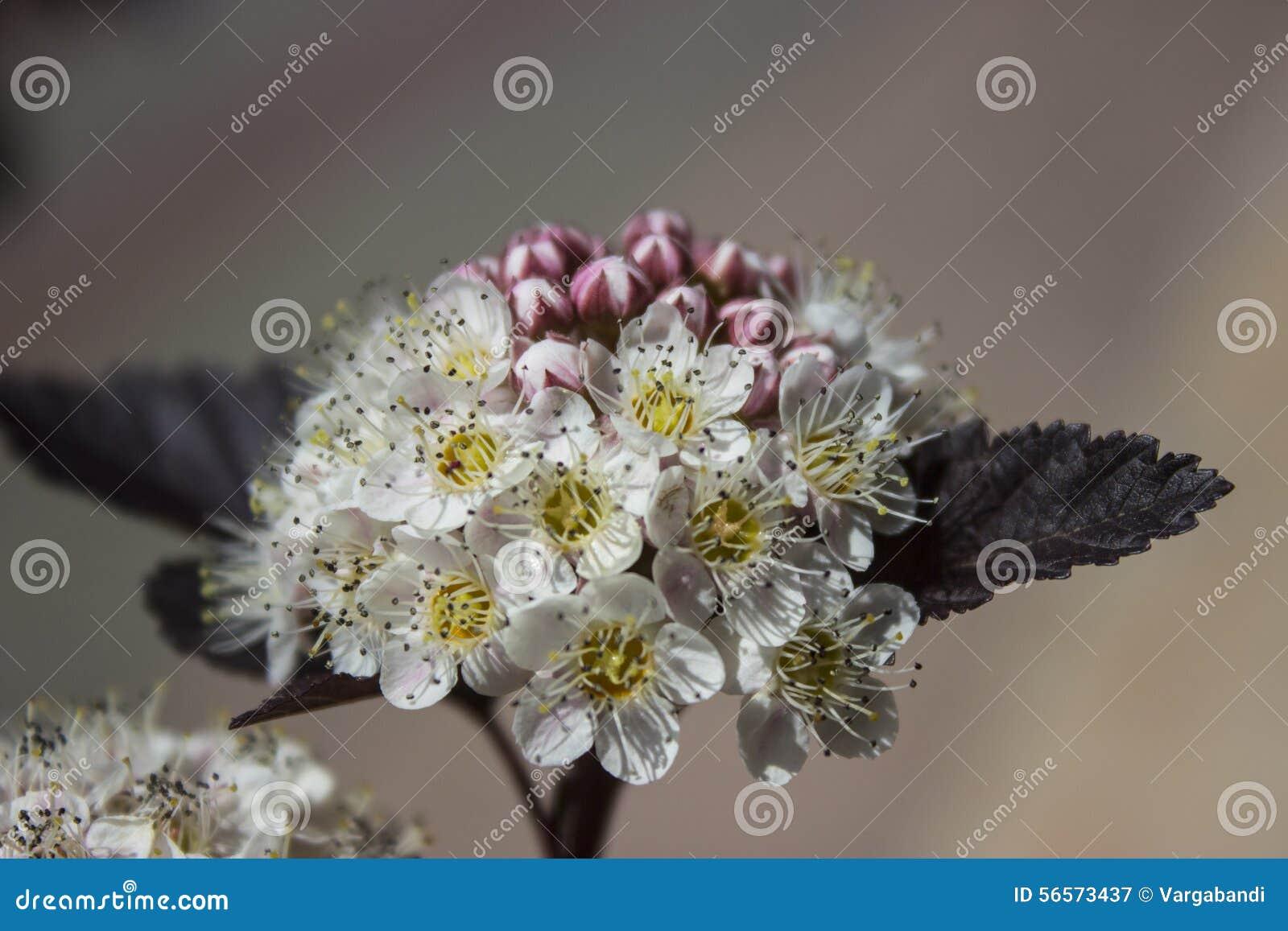 Download Άνθιση Ninebark στοκ εικόνα. εικόνα από φυτό, άνοιξη - 56573437