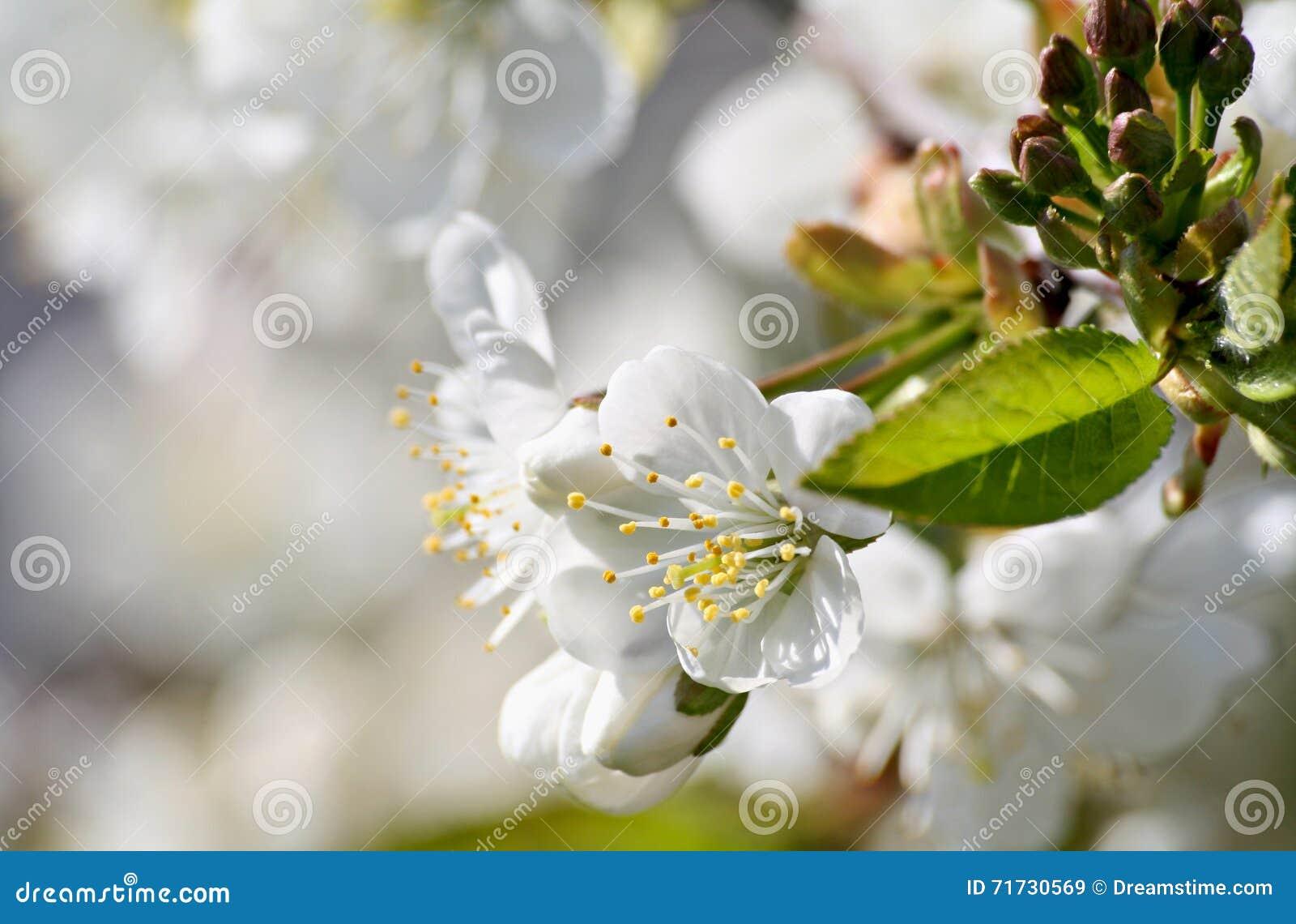 Άνθισμα δέντρων κερασιών