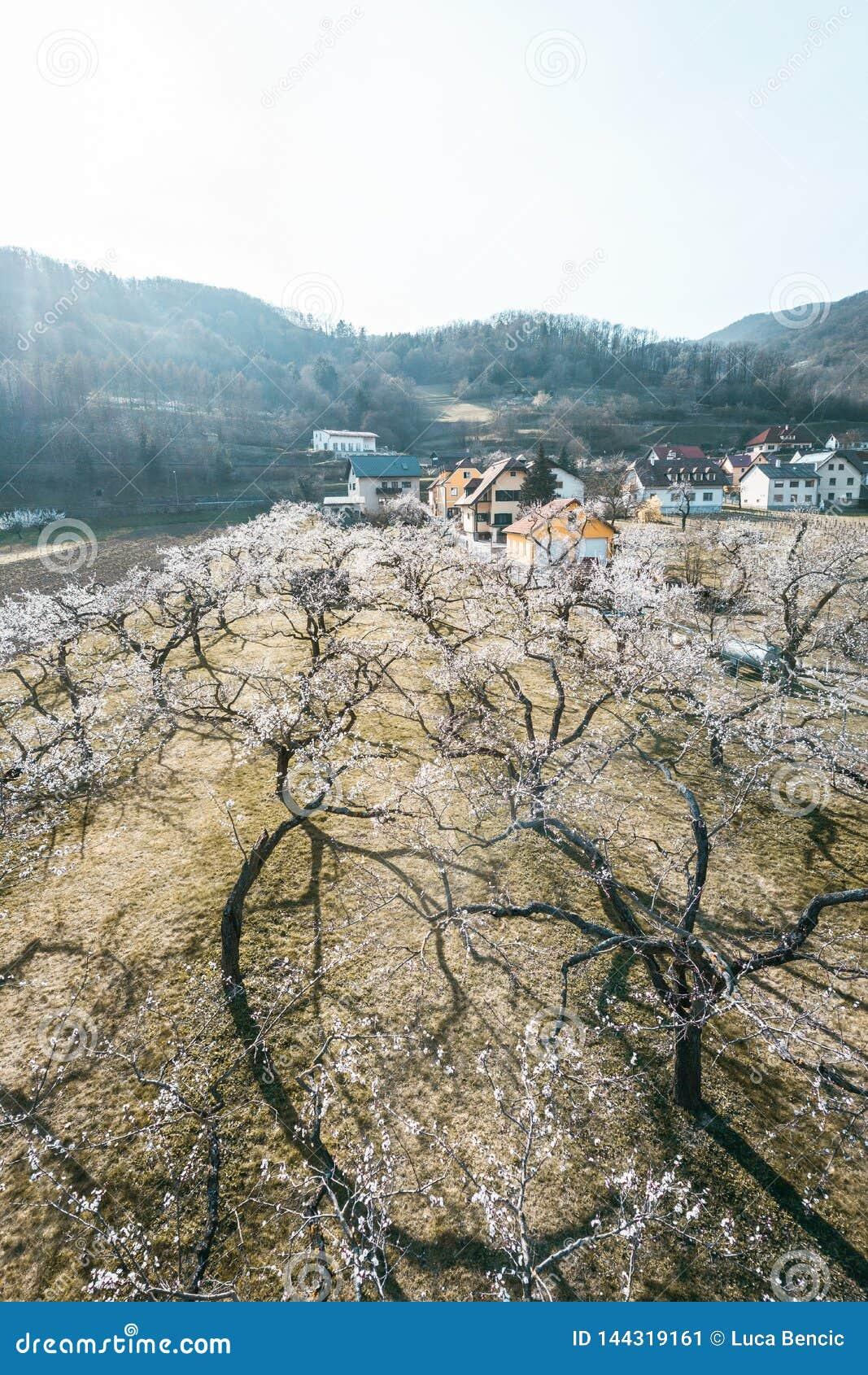 Άνθος δέντρων βερικοκιών που βλασταίνεται με έναν κηφήνα
