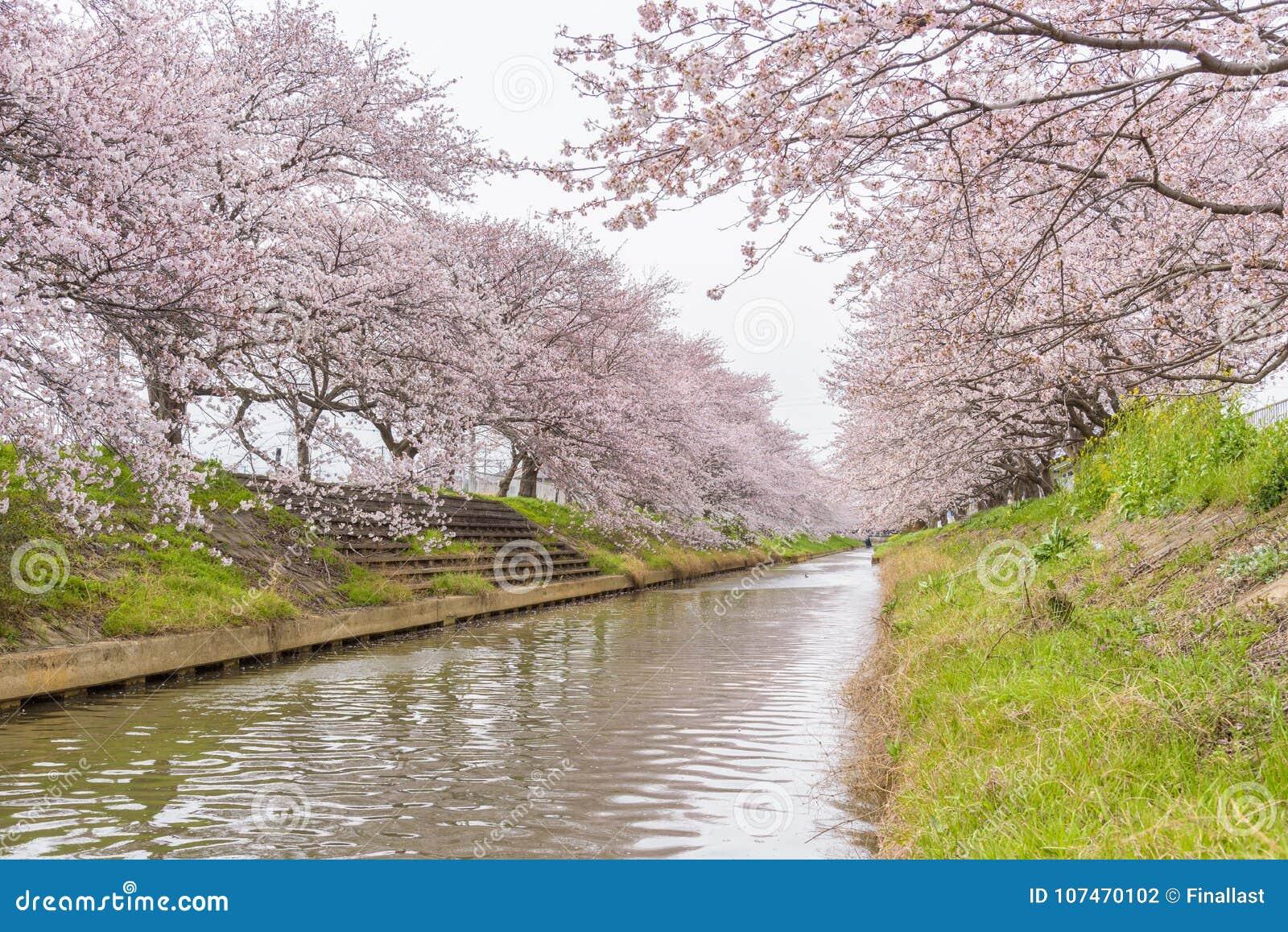 Άνθος Sakura κερασιών στη Σαϊτάμα, Ιαπωνία