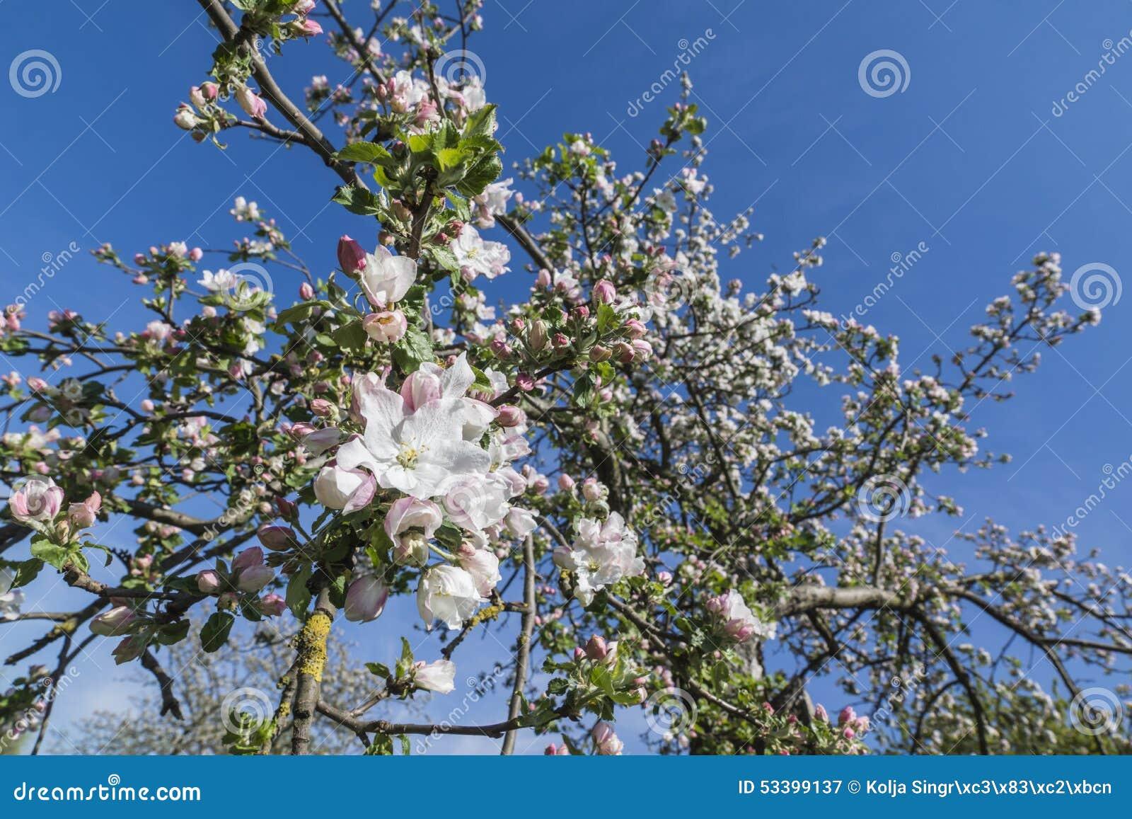 άνοιξη φωτογραφιών κήπων ανθών μήλων