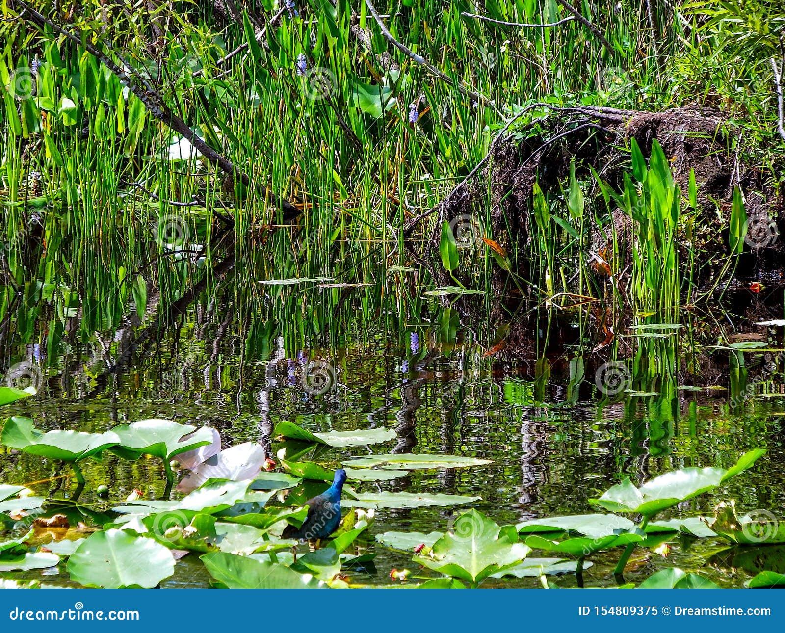 Άποψη μέσα σε ένα έλος της Φλώριδας Everglades