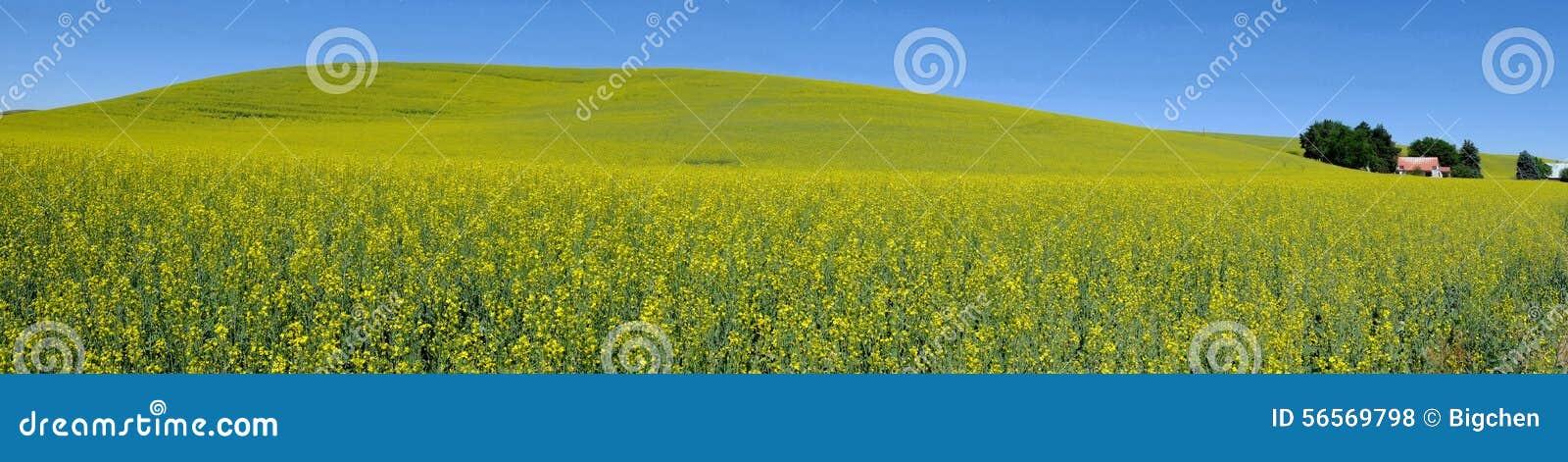 Download Άποψη πανοράματος, κίτρινος τομέας λουλουδιών χωρών Στοκ Εικόνες - εικόνα από canola, χώρα: 56569798